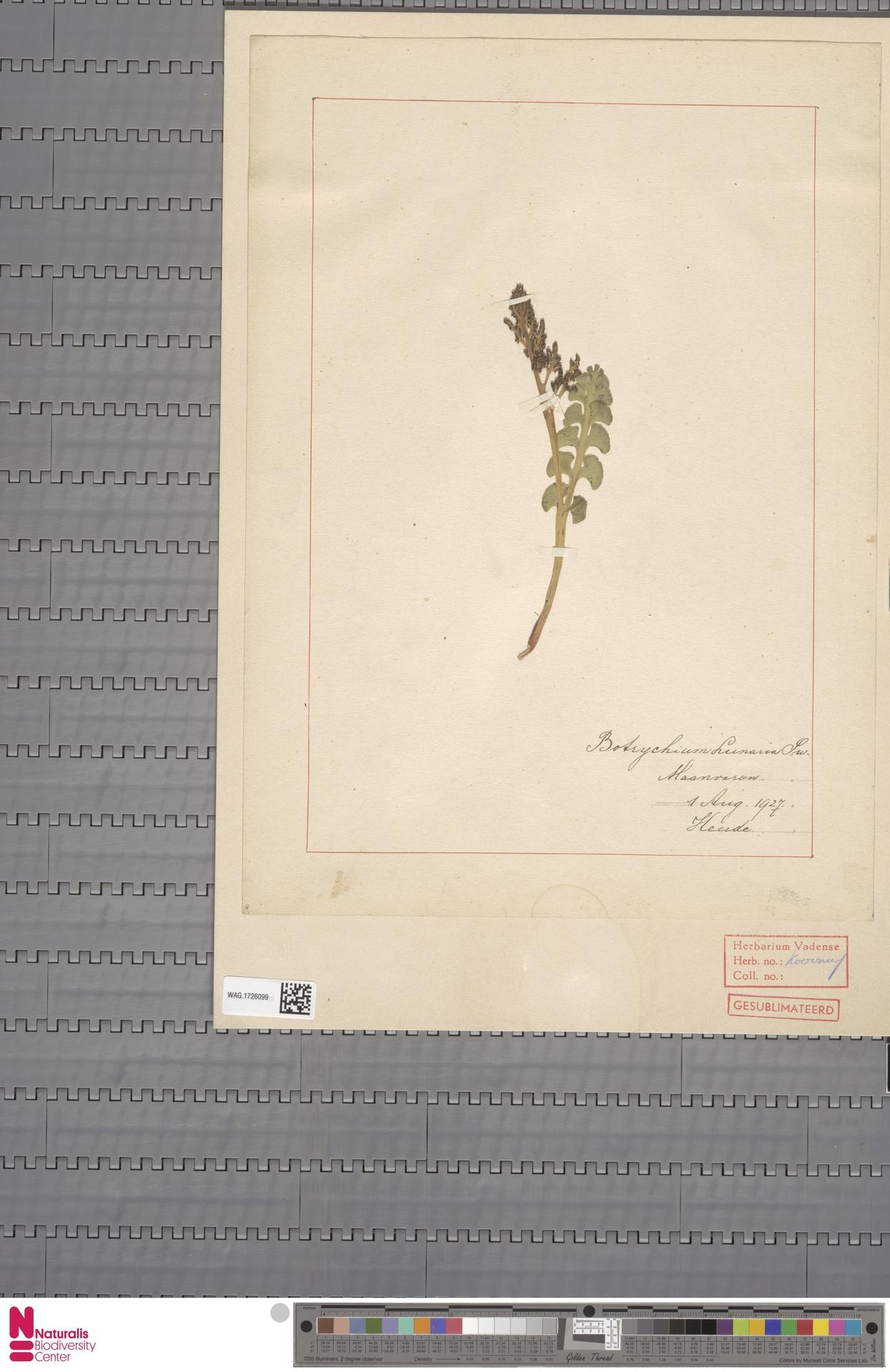 WAG.1726099 | Botrychium lunaria (L.) Sw.
