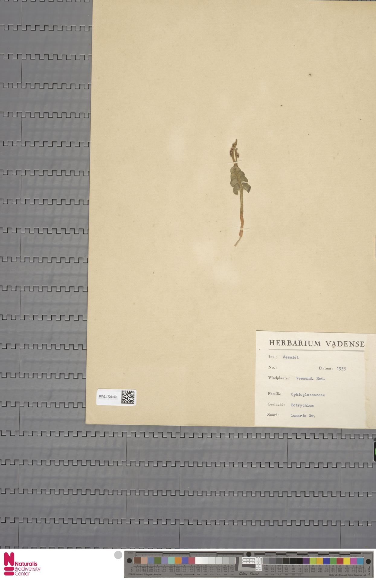 WAG.1726100 | Botrychium lunaria (L.) Sw.