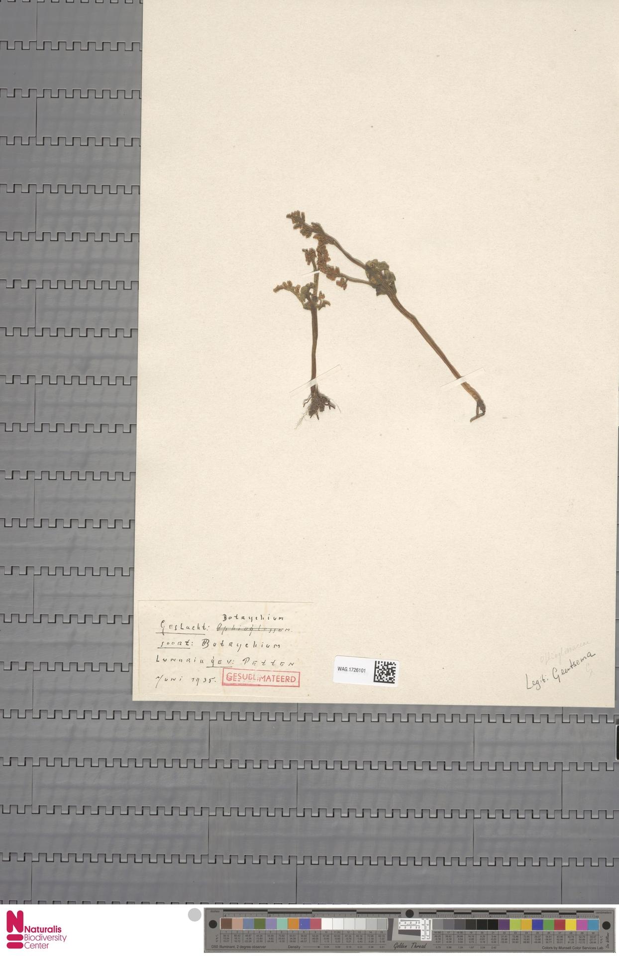 WAG.1726101 | Botrychium lunaria (L.) Sw.