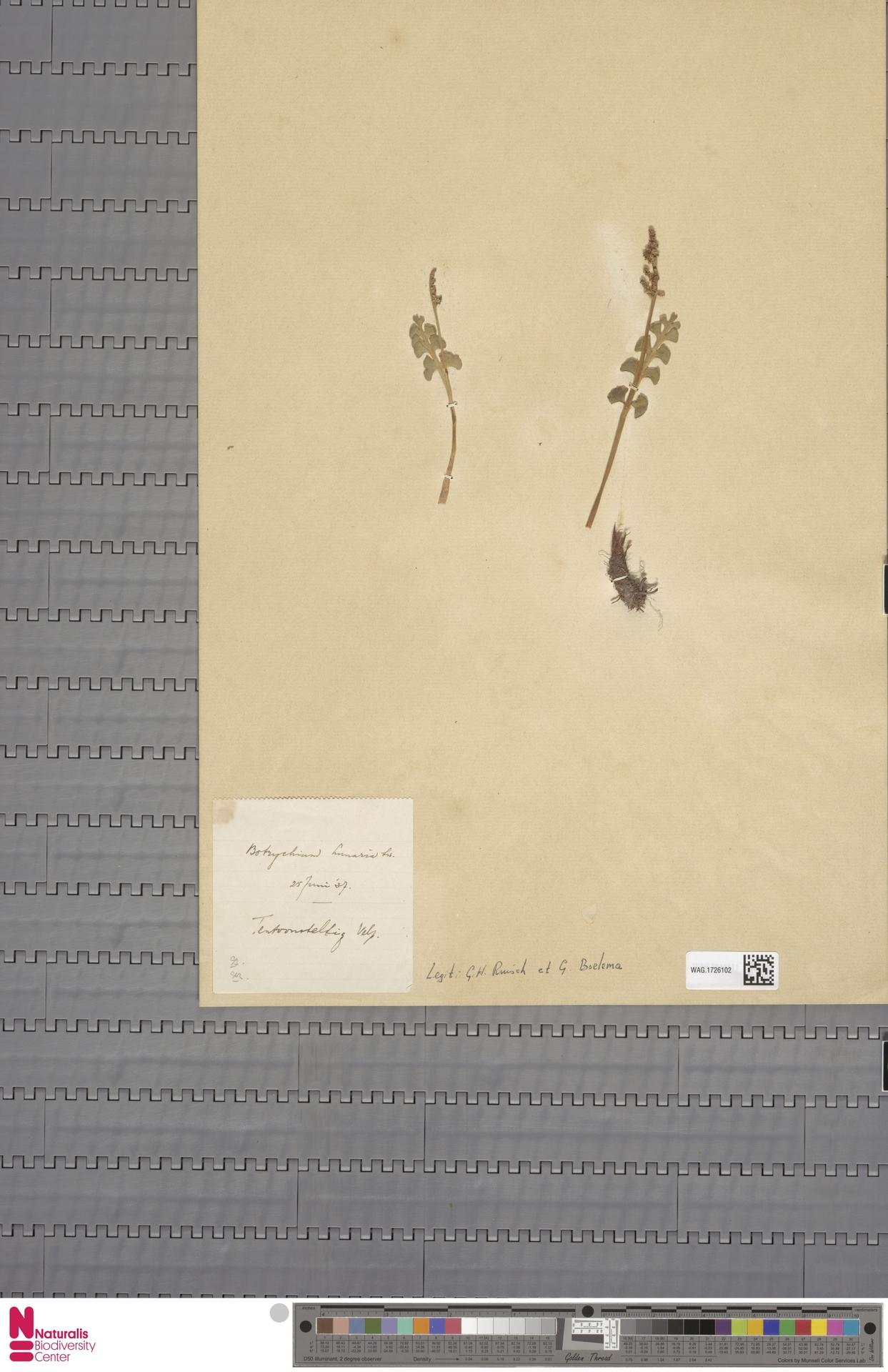 WAG.1726102 | Botrychium lunaria (L.) Sw.
