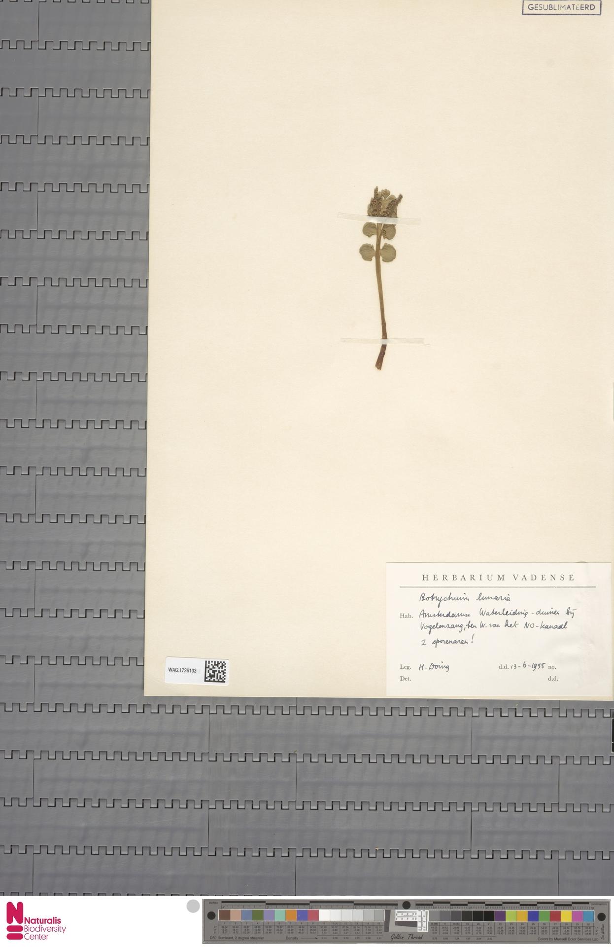 WAG.1726103 | Botrychium lunaria (L.) Sw.