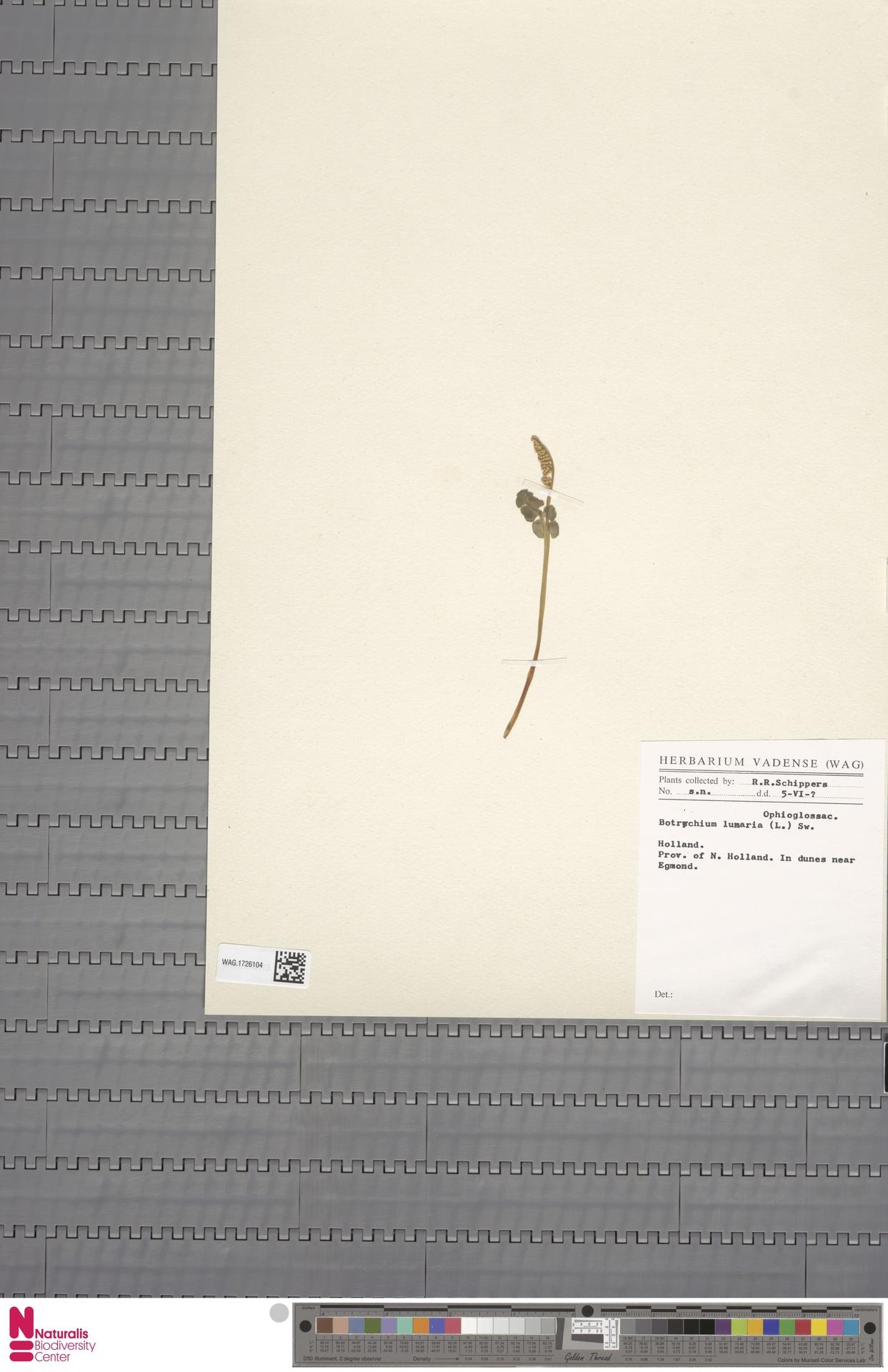 WAG.1726104 | Botrychium lunaria (L.) Sw.