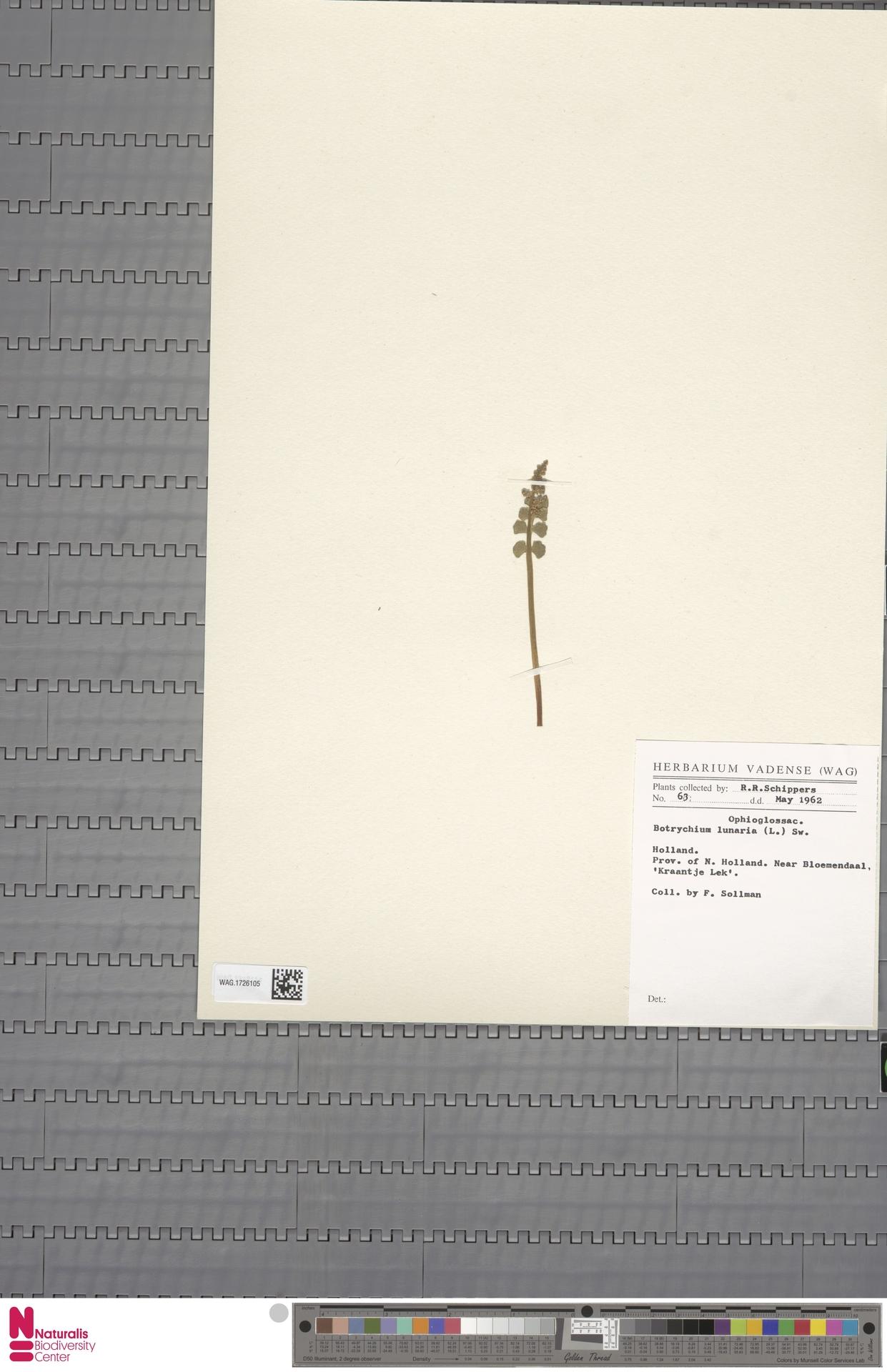WAG.1726105 | Botrychium lunaria (L.) Sw.