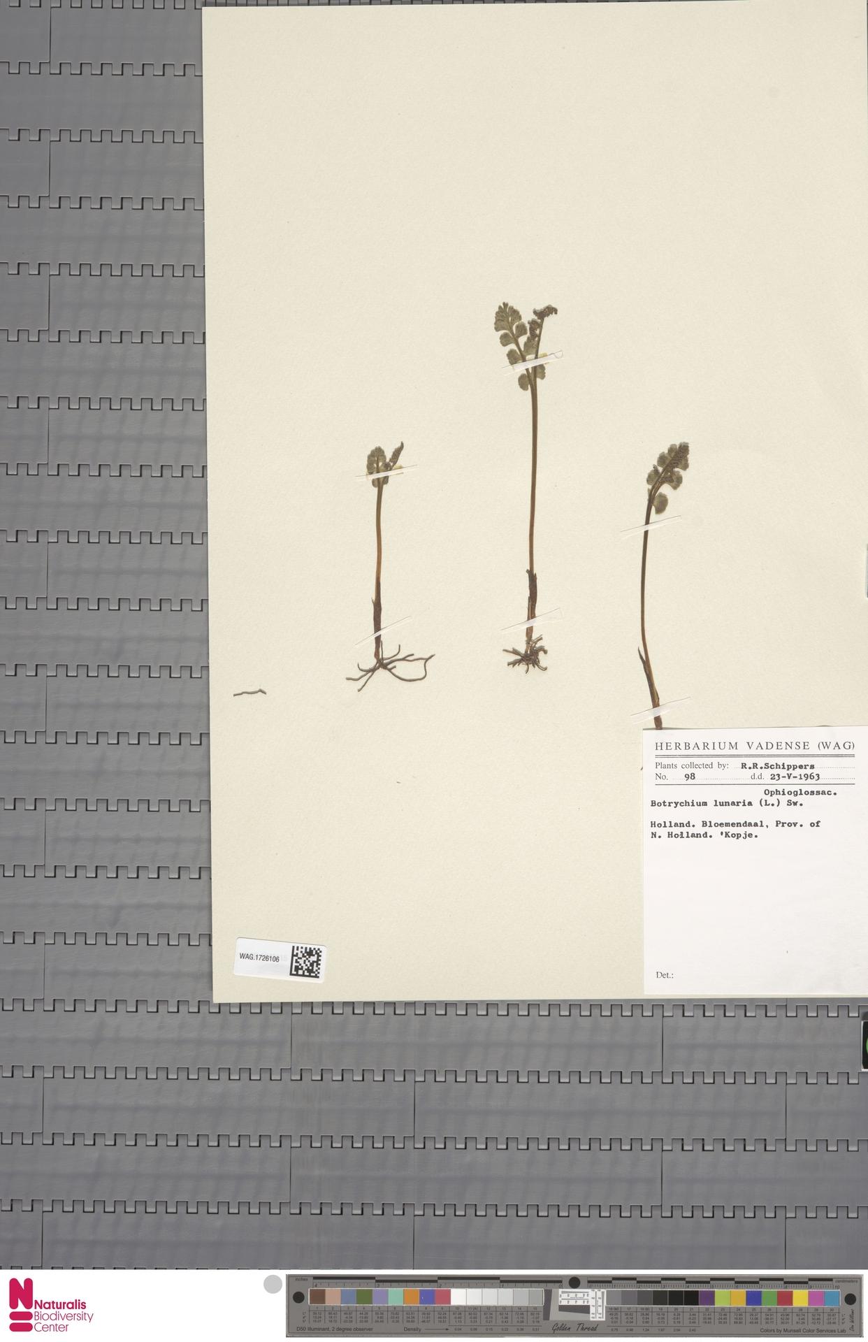 WAG.1726106 | Botrychium lunaria (L.) Sw.