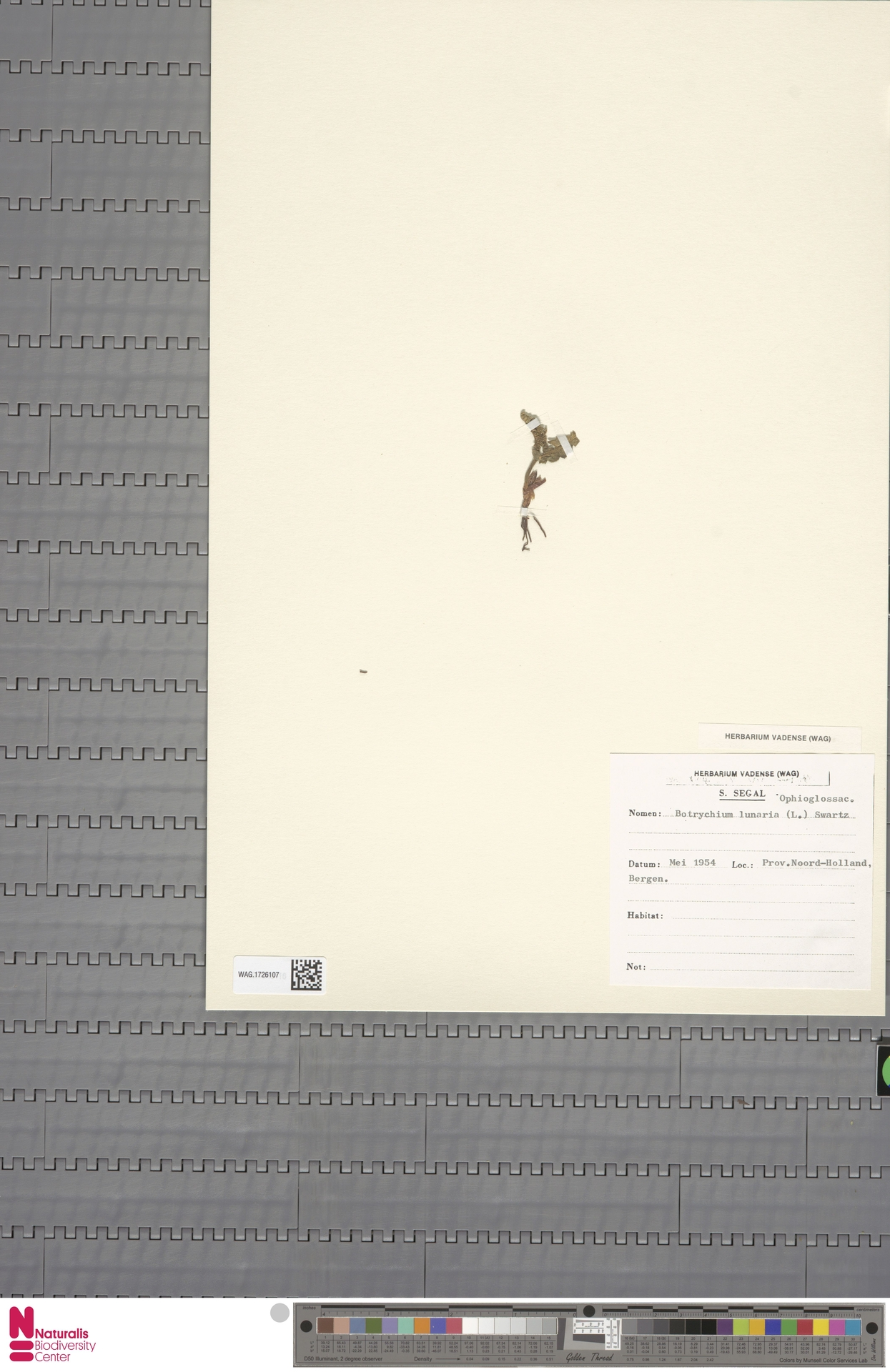 WAG.1726107 | Botrychium lunaria (L.) Sw.