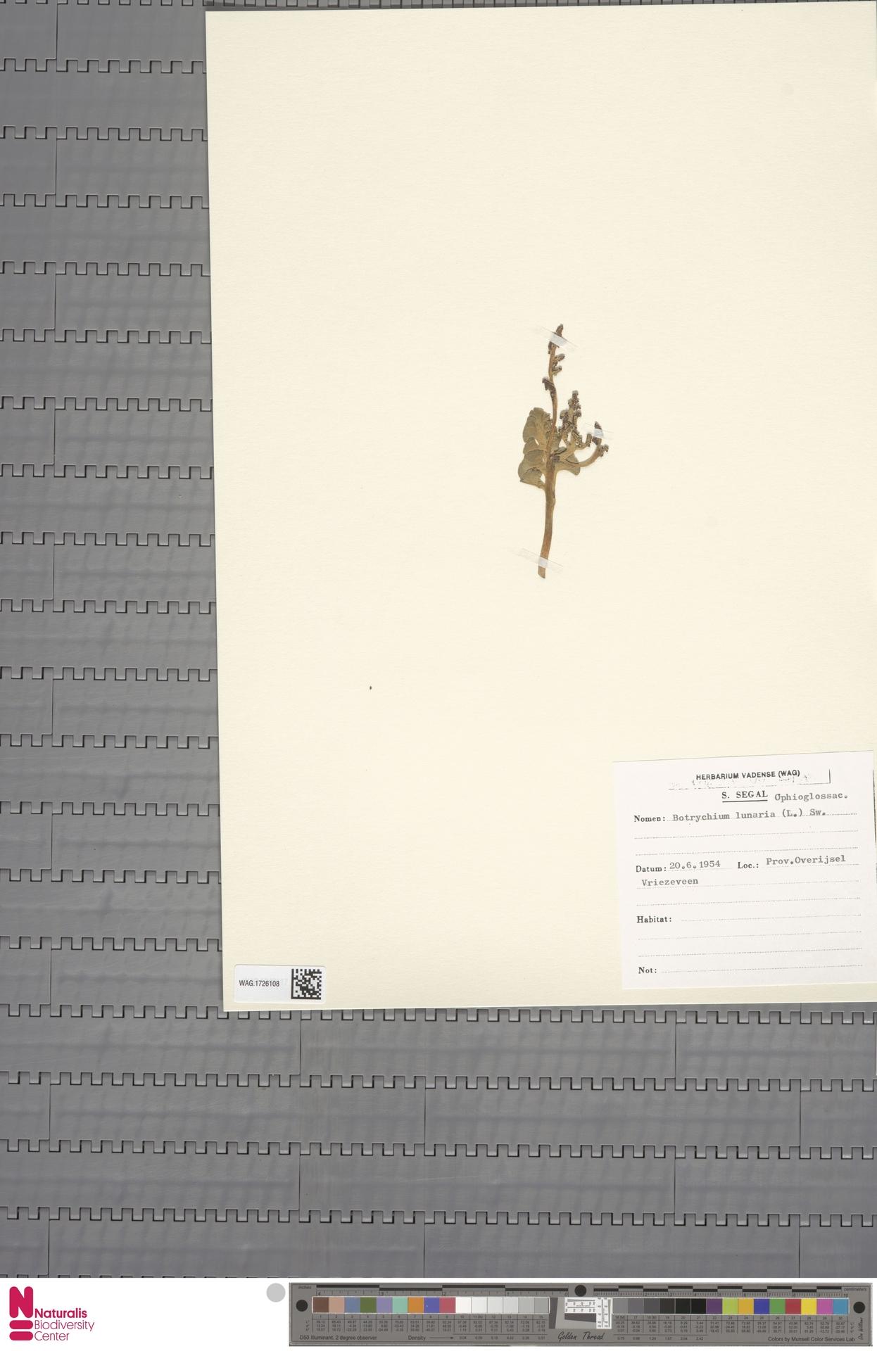 WAG.1726108 | Botrychium lunaria (L.) Sw.