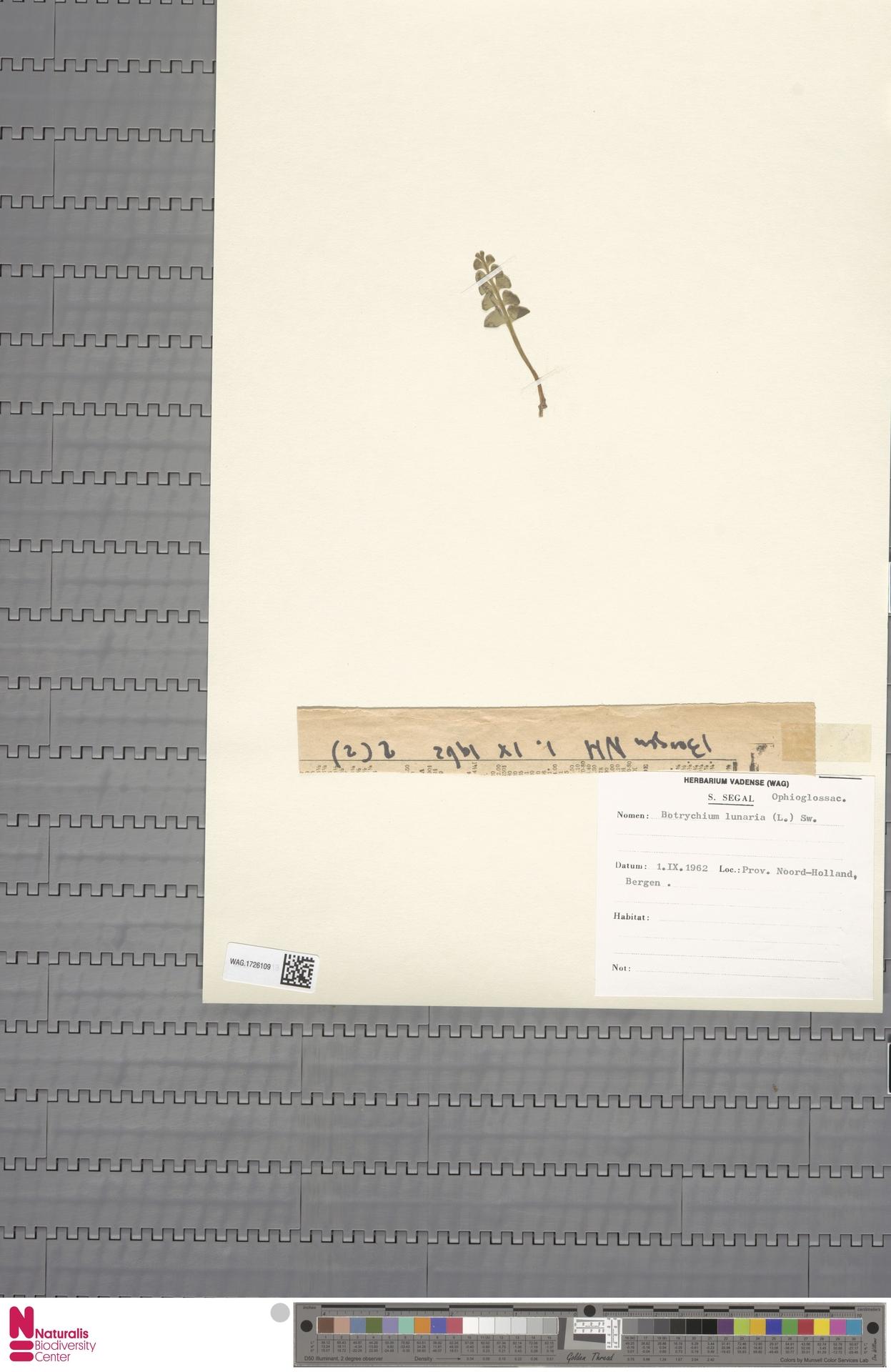 WAG.1726109 | Botrychium lunaria (L.) Sw.