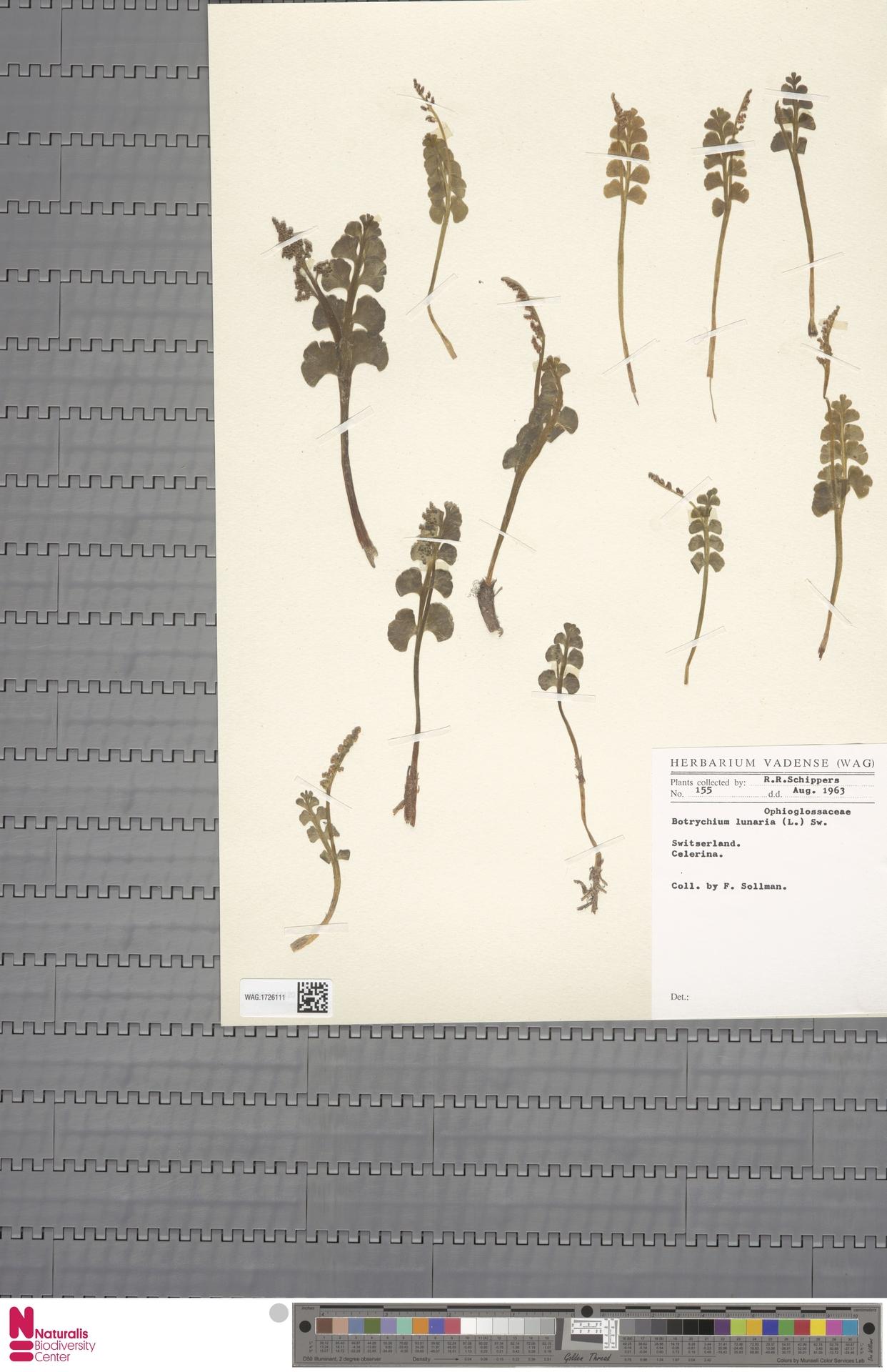 WAG.1726111 | Botrychium lunaria (L.) Sw.