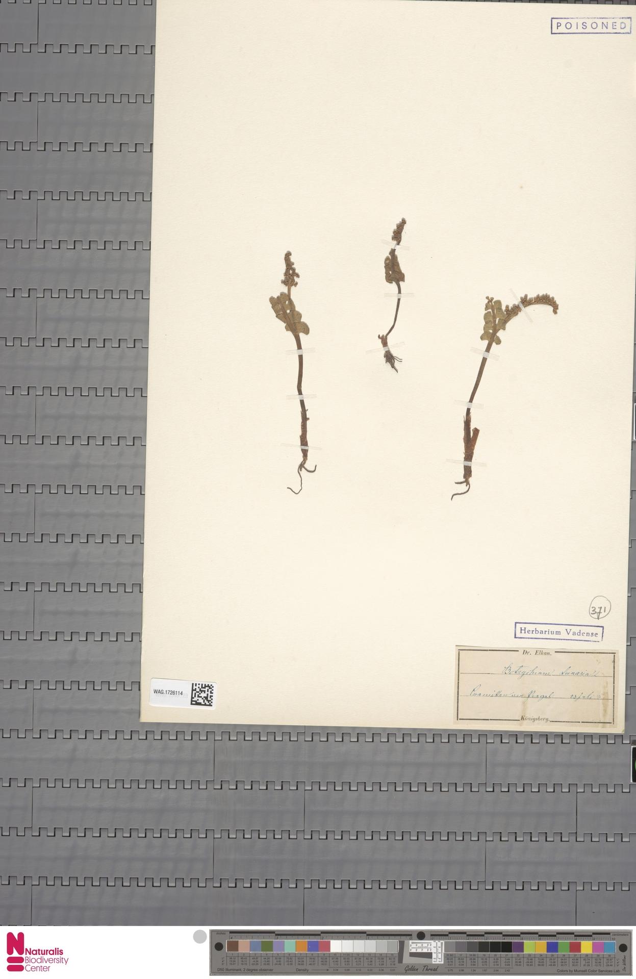 WAG.1726114   Botrychium lunaria (L.) Sw.