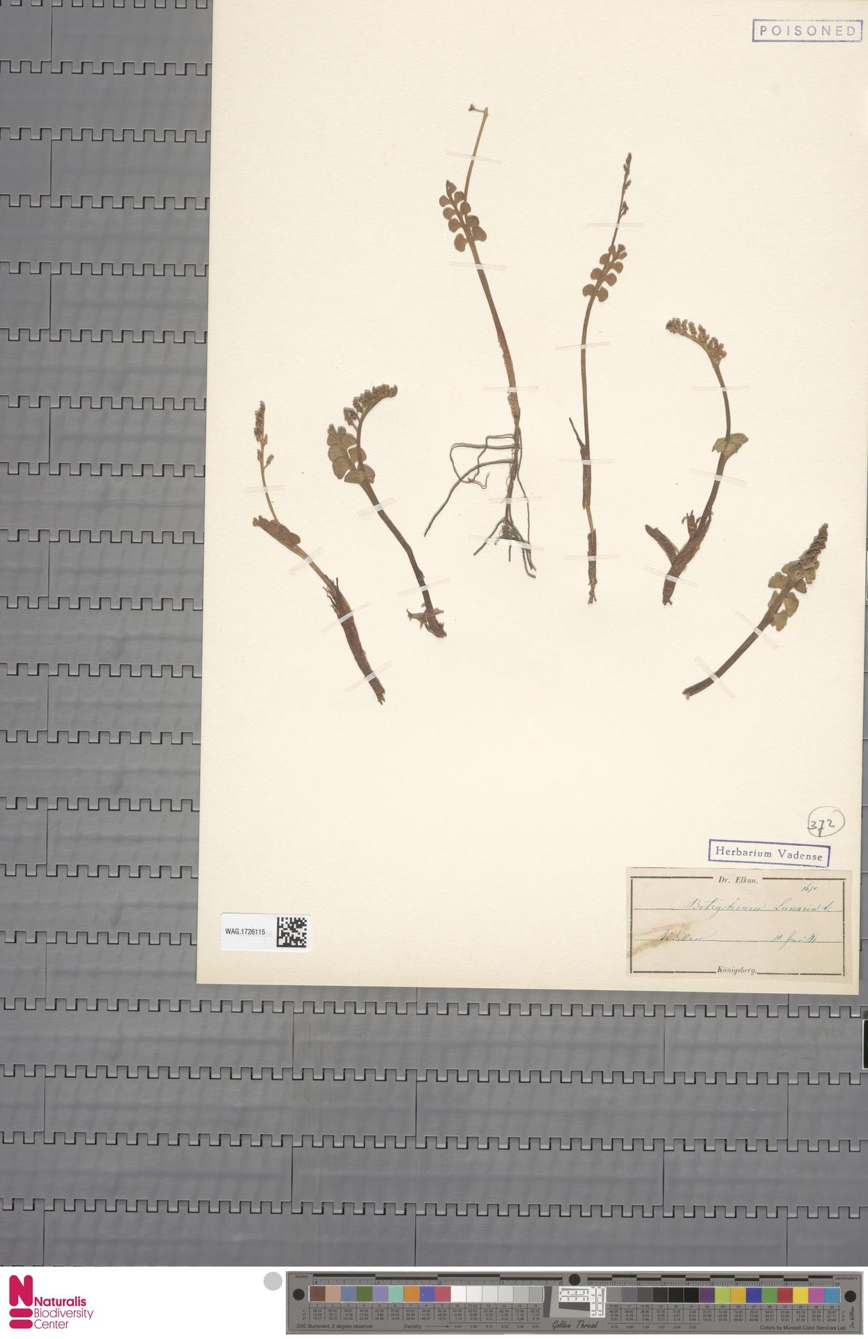 WAG.1726115 | Botrychium lunaria (L.) Sw.