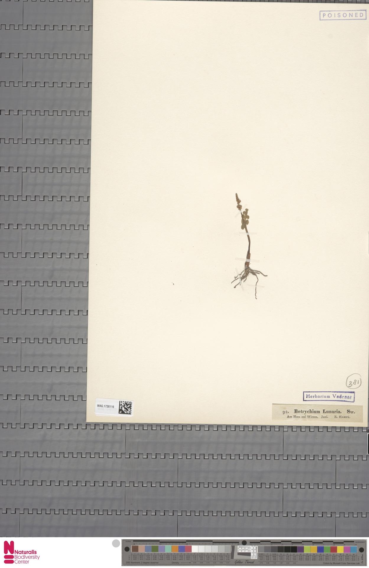 WAG.1726116 | Botrychium lunaria (L.) Sw.