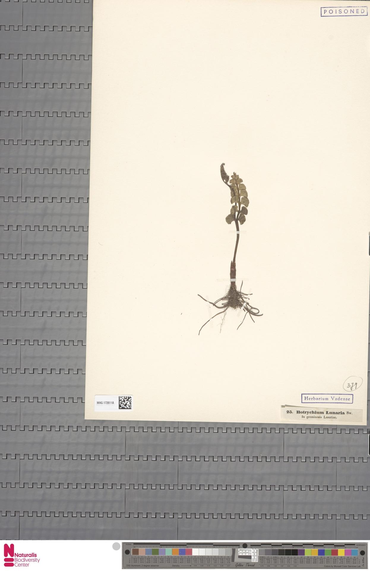 WAG.1726118 | Botrychium lunaria (L.) Sw.
