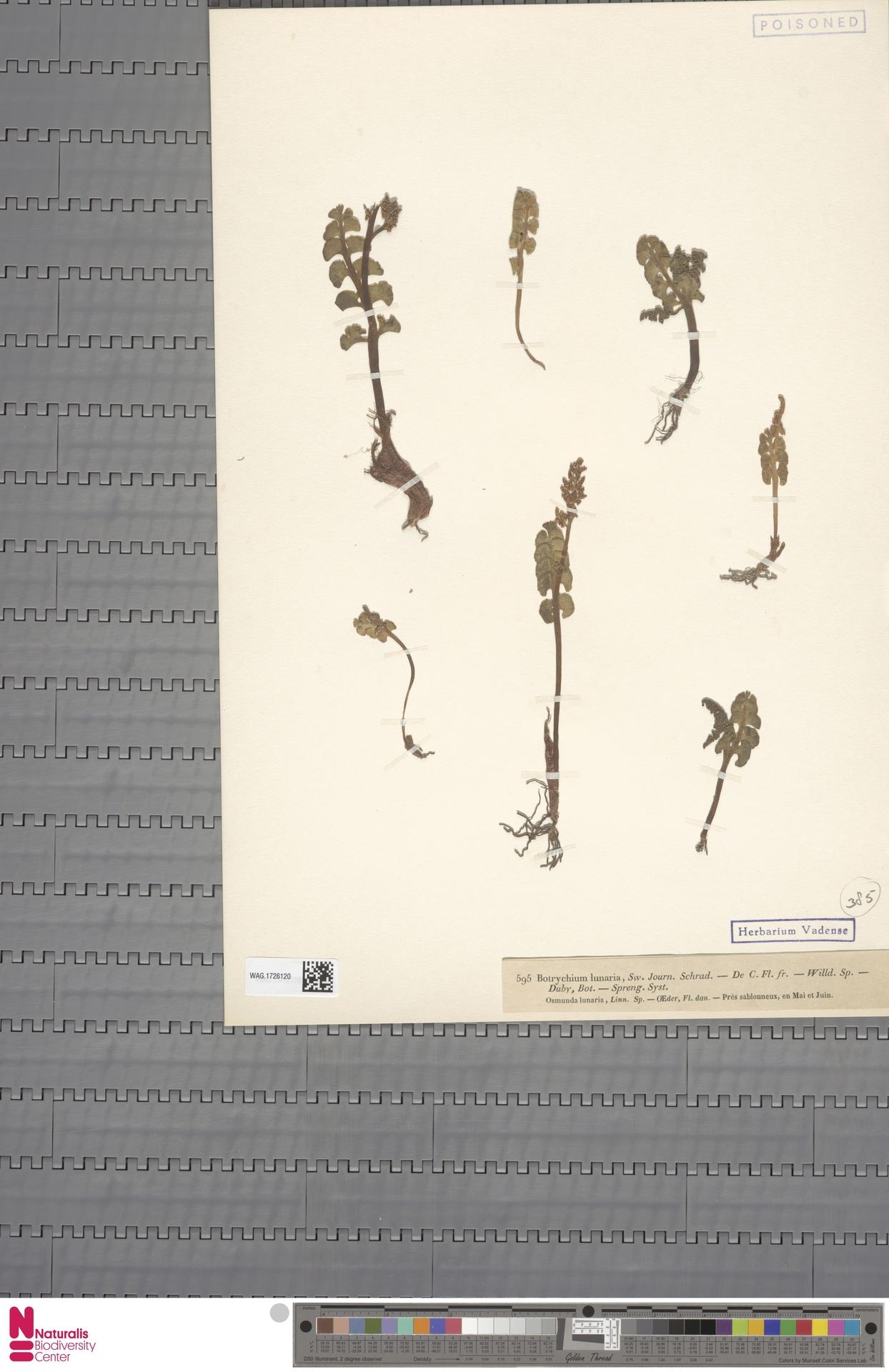 WAG.1726120 | Botrychium lunaria (L.) Sw.