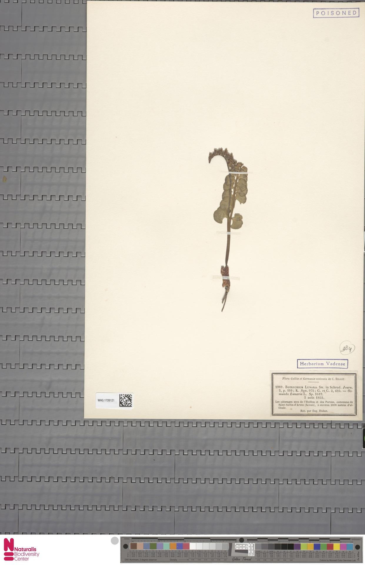 WAG.1726121 | Botrychium lunaria (L.) Sw.