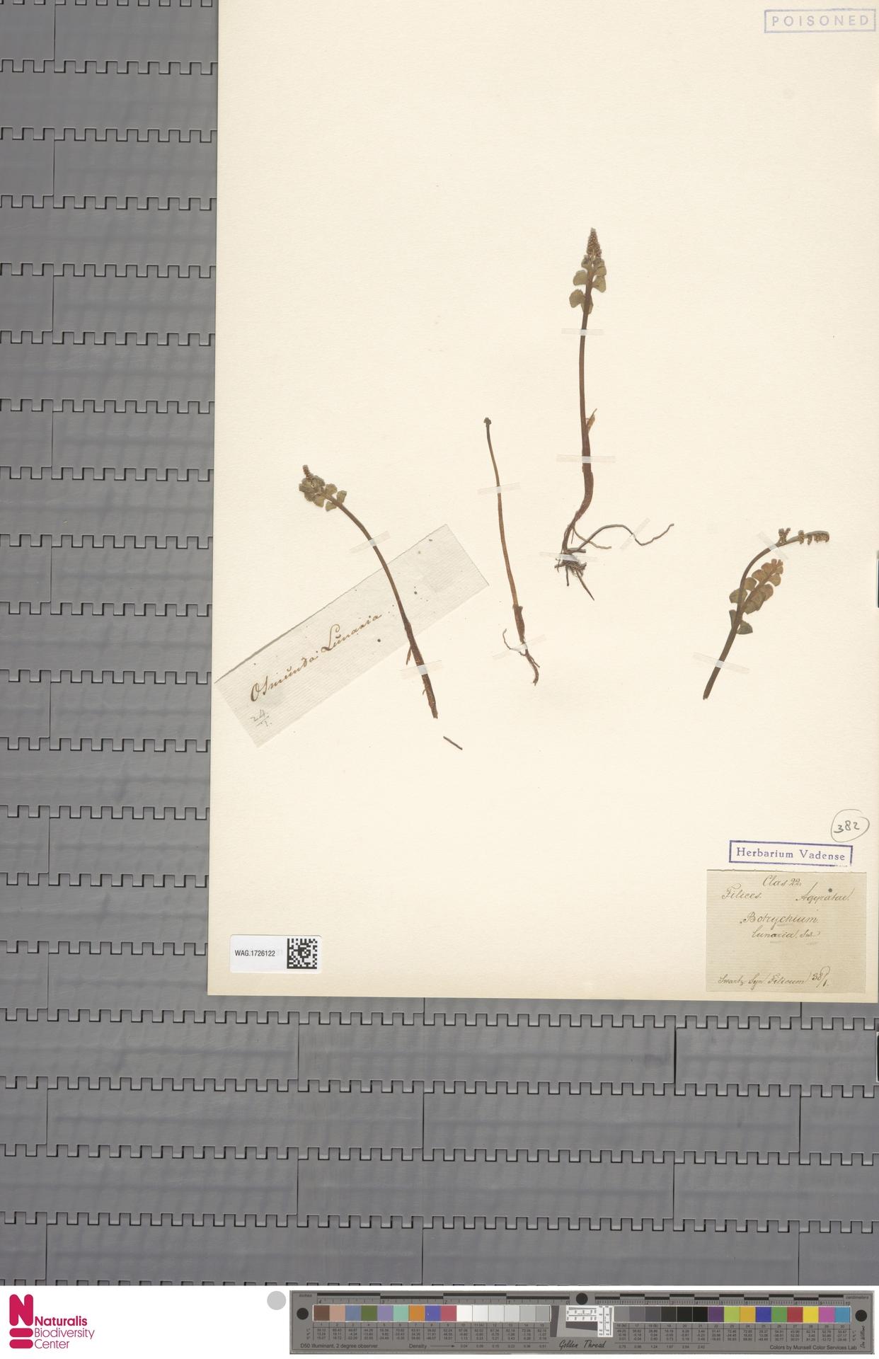 WAG.1726122 | Botrychium lunaria (L.) Sw.