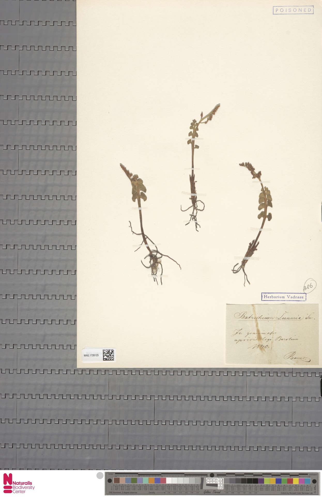 WAG.1726125 | Botrychium lunaria (L.) Sw.