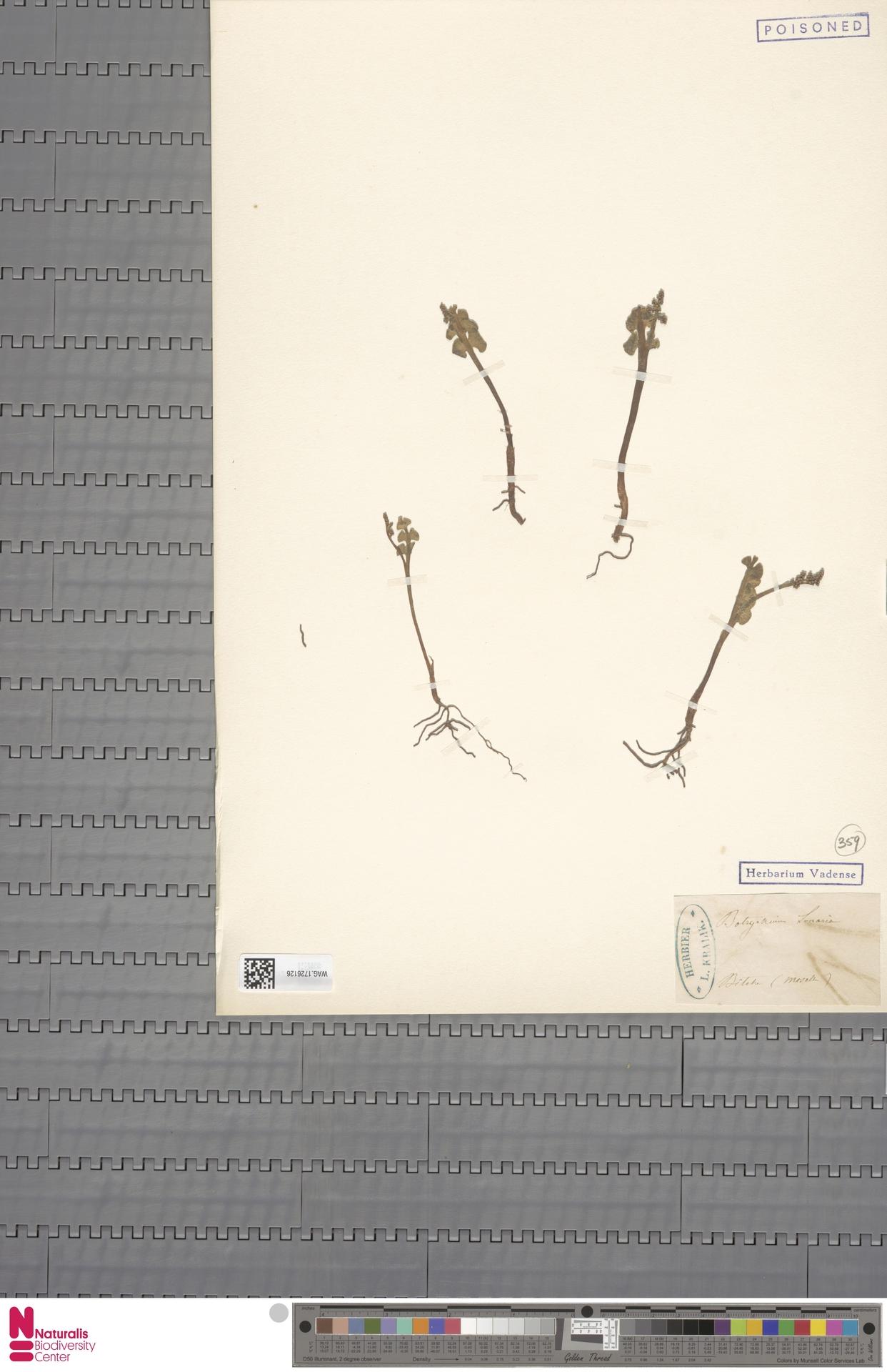 WAG.1726126 | Botrychium lunaria (L.) Sw.