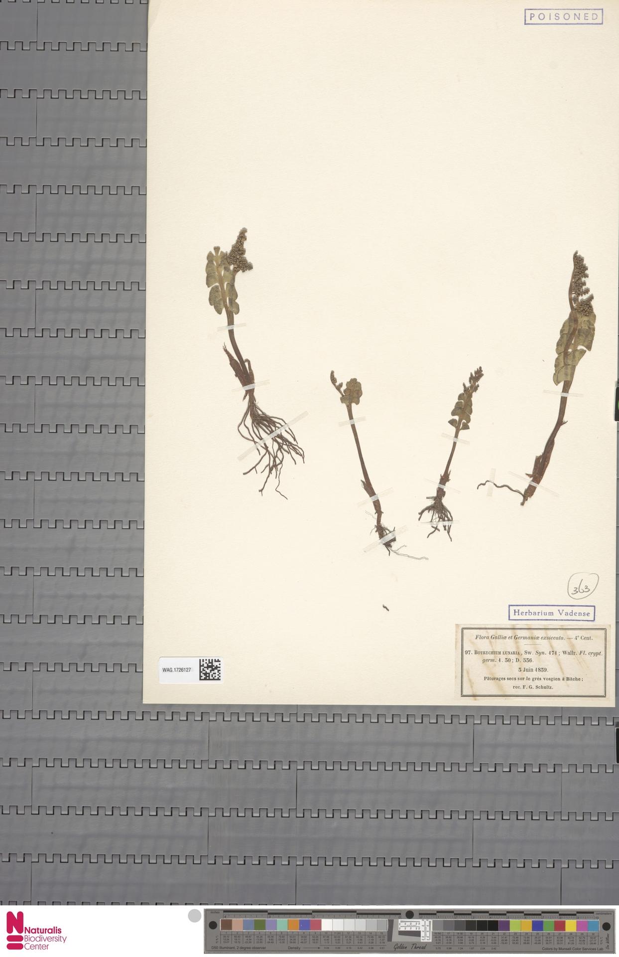 WAG.1726127   Botrychium lunaria (L.) Sw.