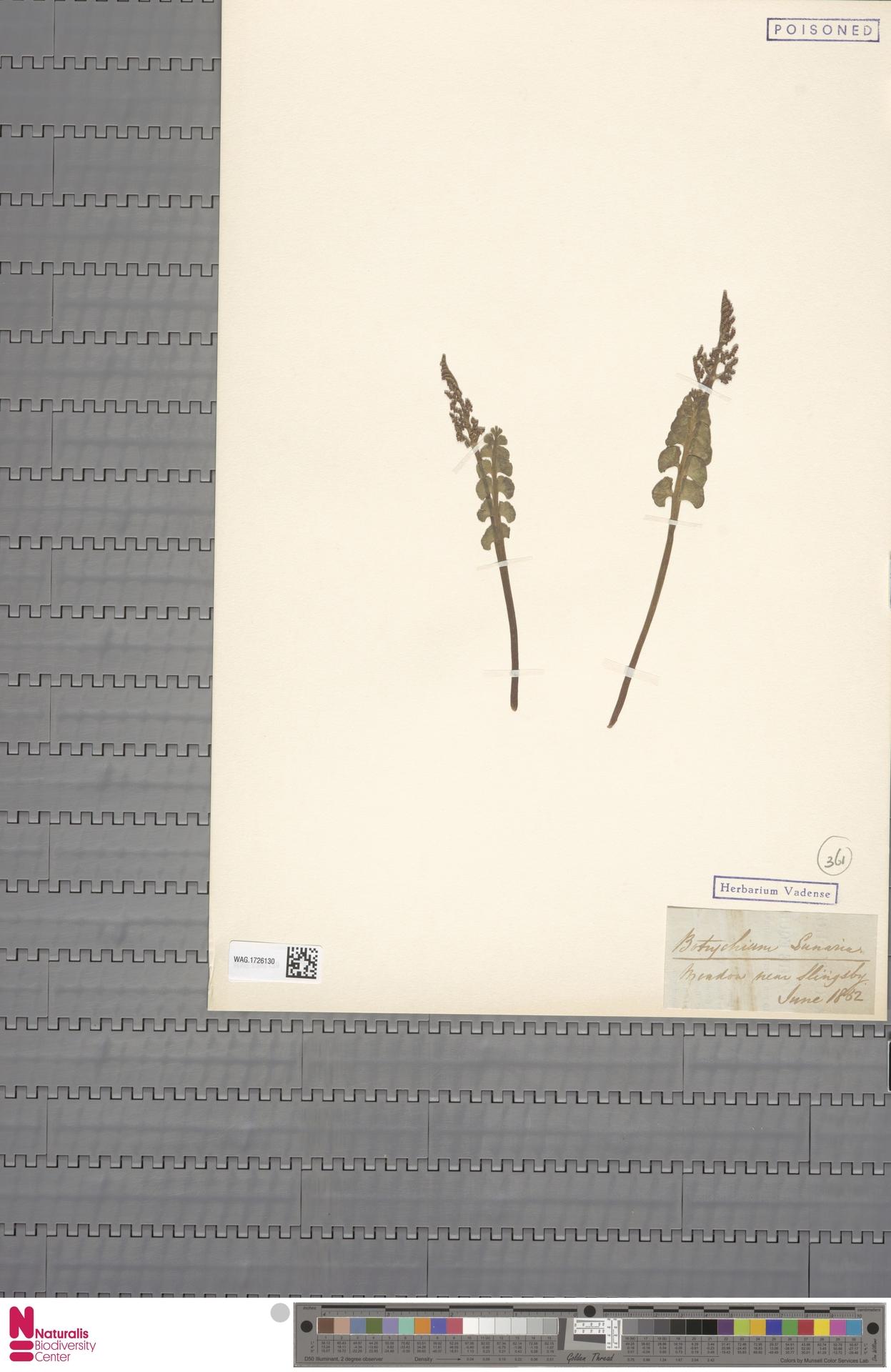 WAG.1726130 | Botrychium lunaria (L.) Sw.