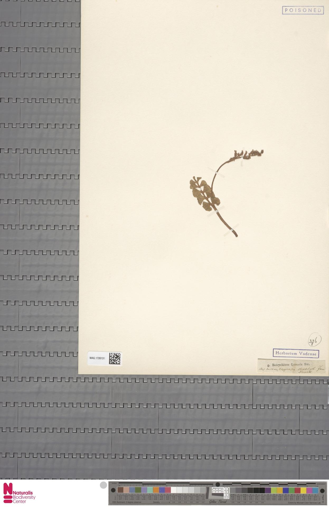 WAG.1726131 | Botrychium lunaria (L.) Sw.