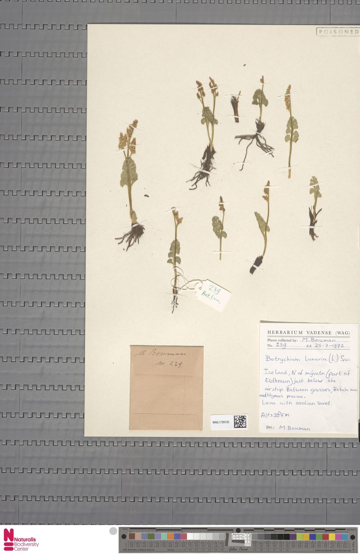 WAG.1726132 | Botrychium lunaria (L.) Sw.