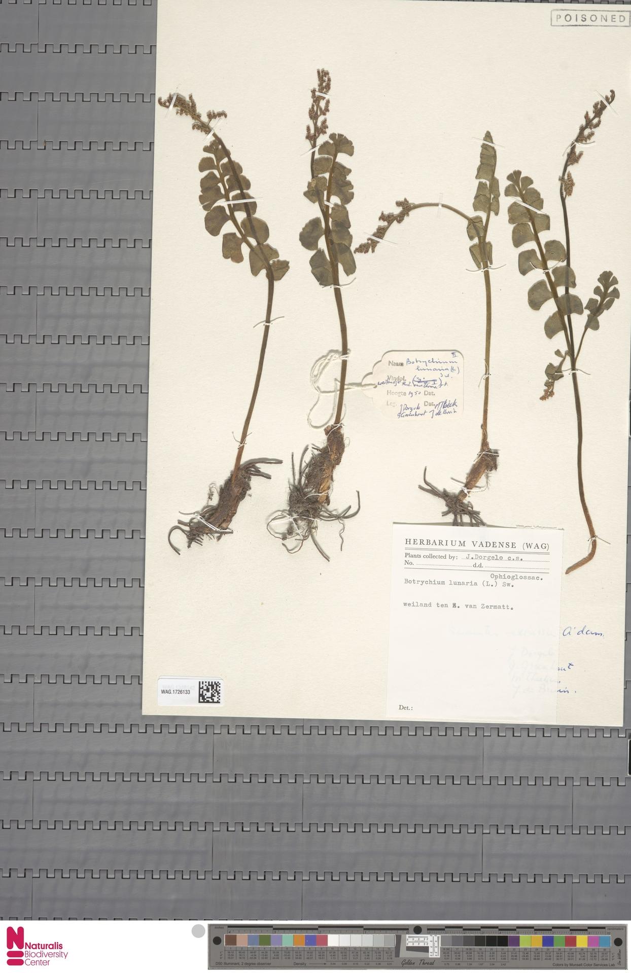 WAG.1726133 | Botrychium lunaria (L.) Sw.