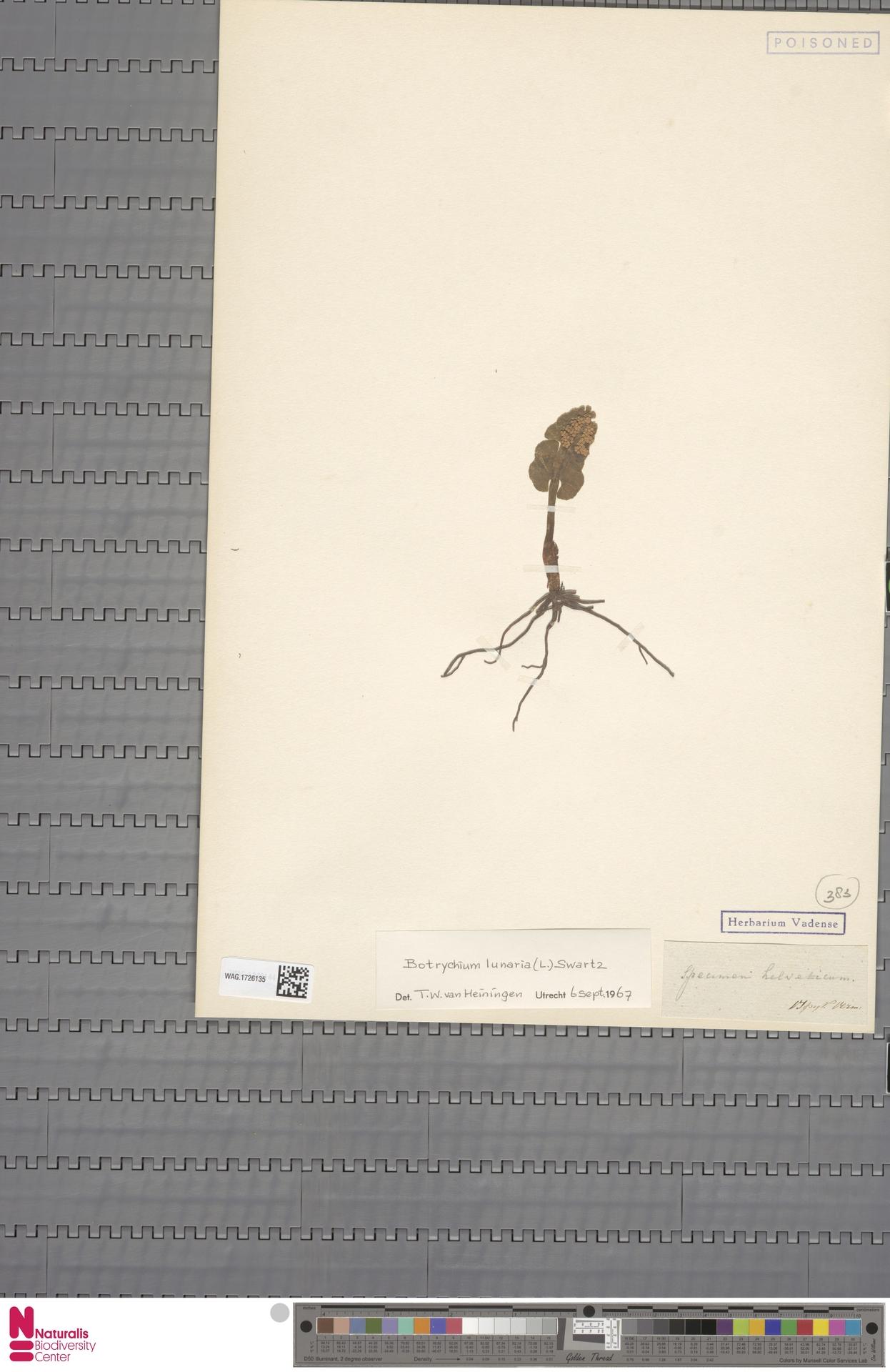 WAG.1726135 | Botrychium lunaria (L.) Sw.