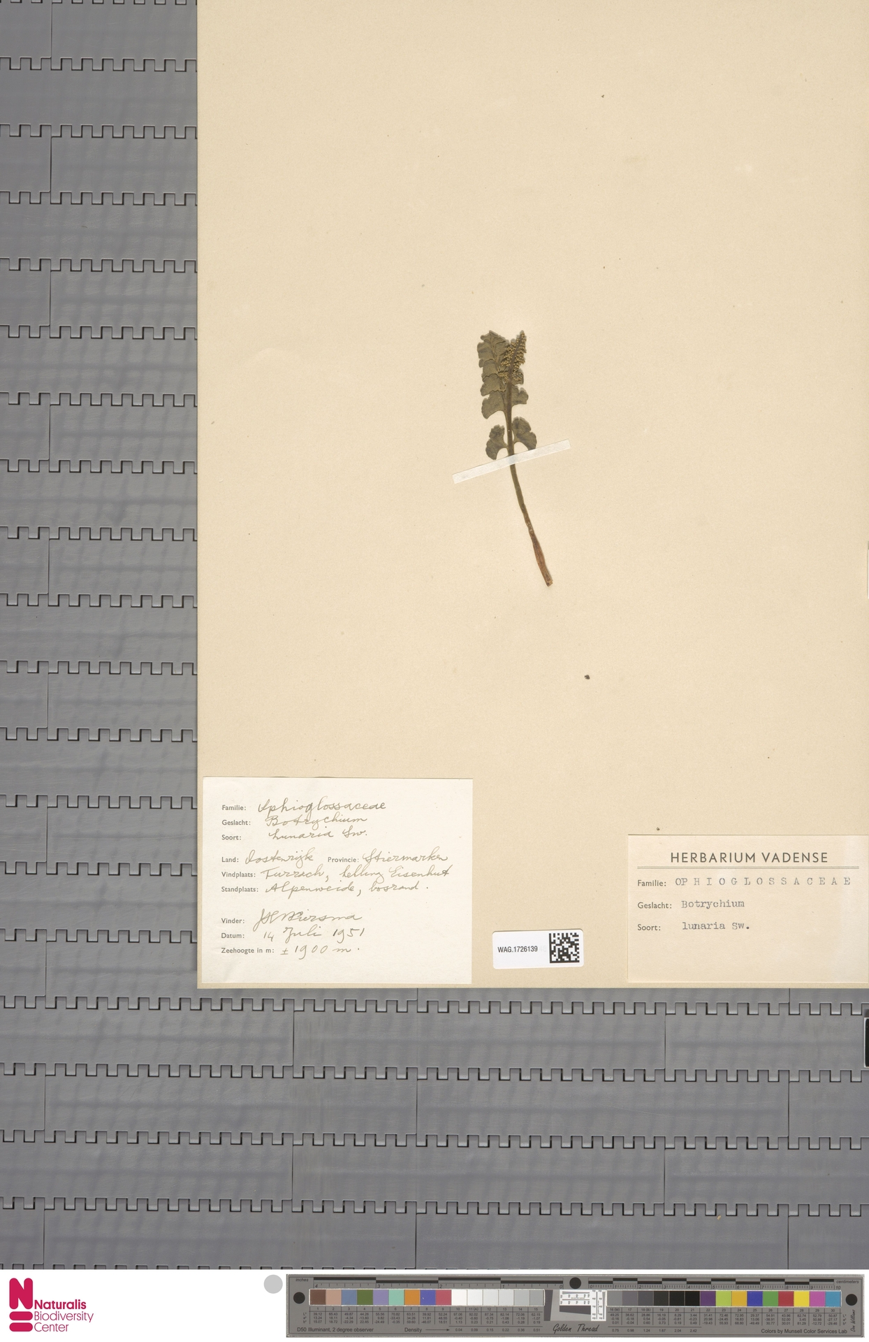 WAG.1726139 | Botrychium lunaria (L.) Sw.