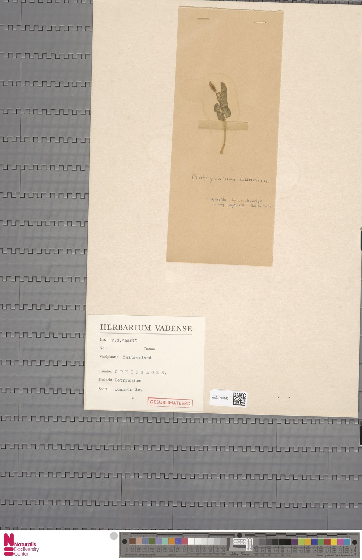 WAG.1726140   Botrychium lunaria (L.) Sw.