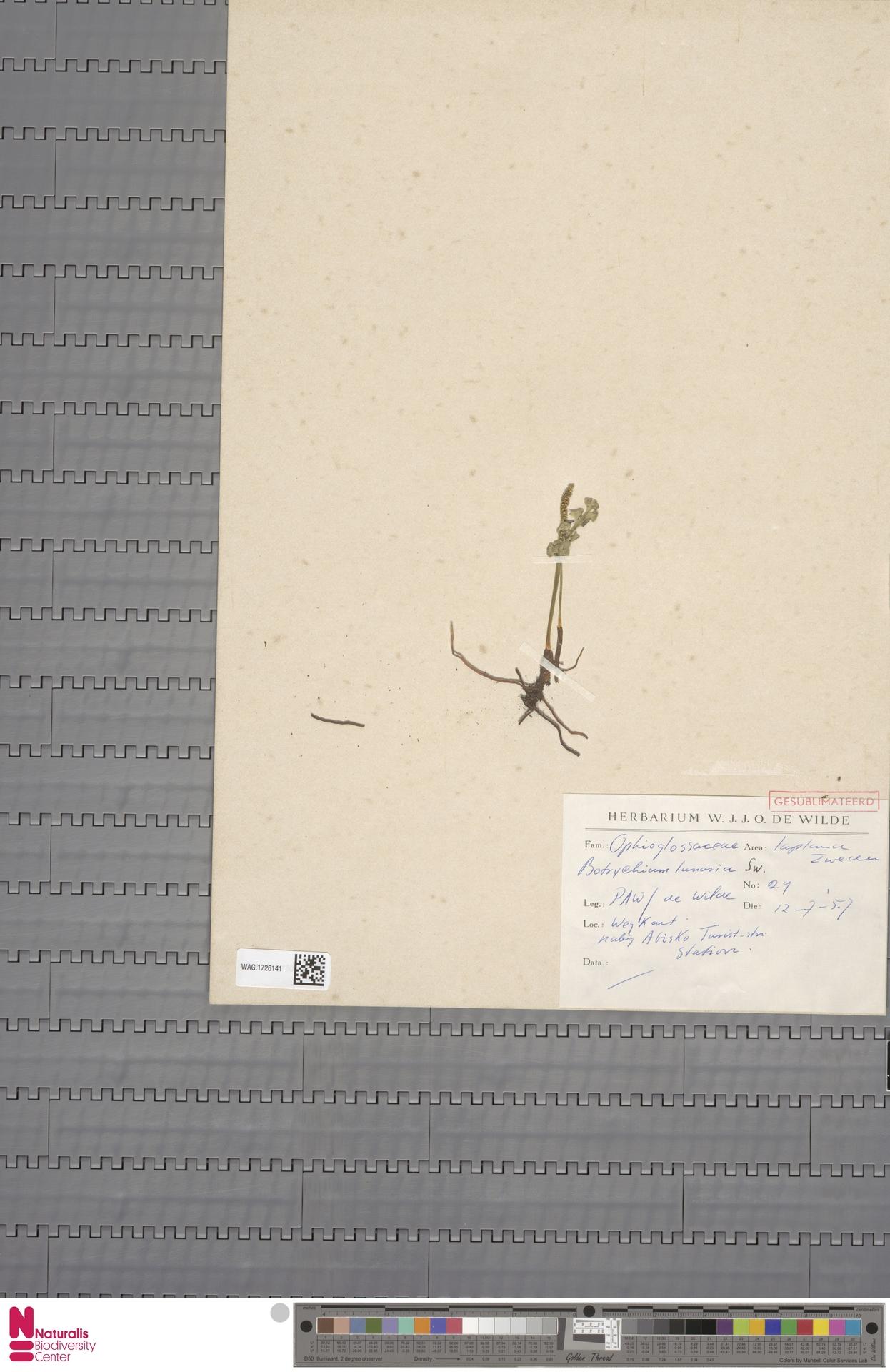 WAG.1726141 | Botrychium lunaria (L.) Sw.