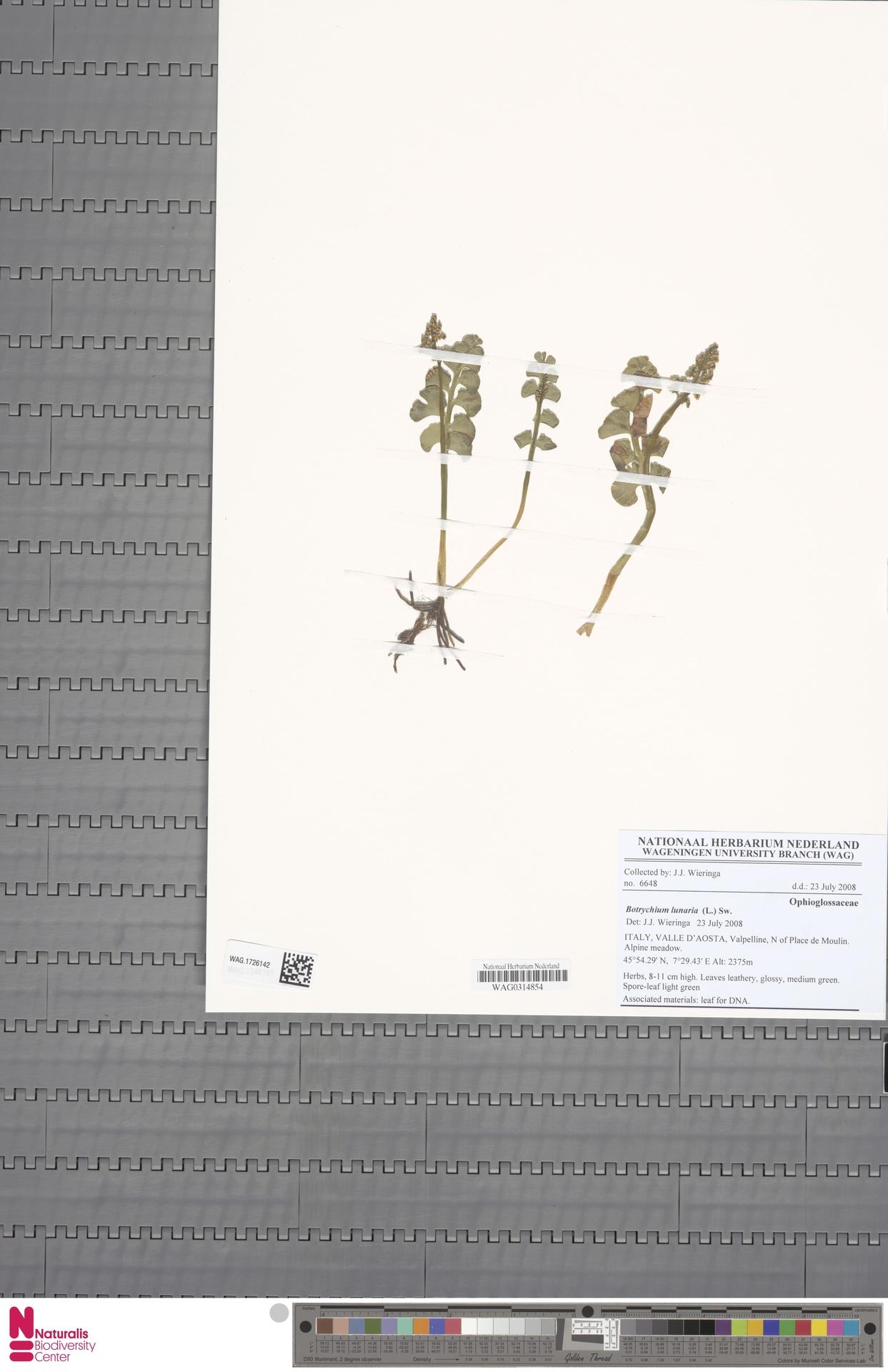 WAG.1726142 | Botrychium lunaria (L.) Sw.