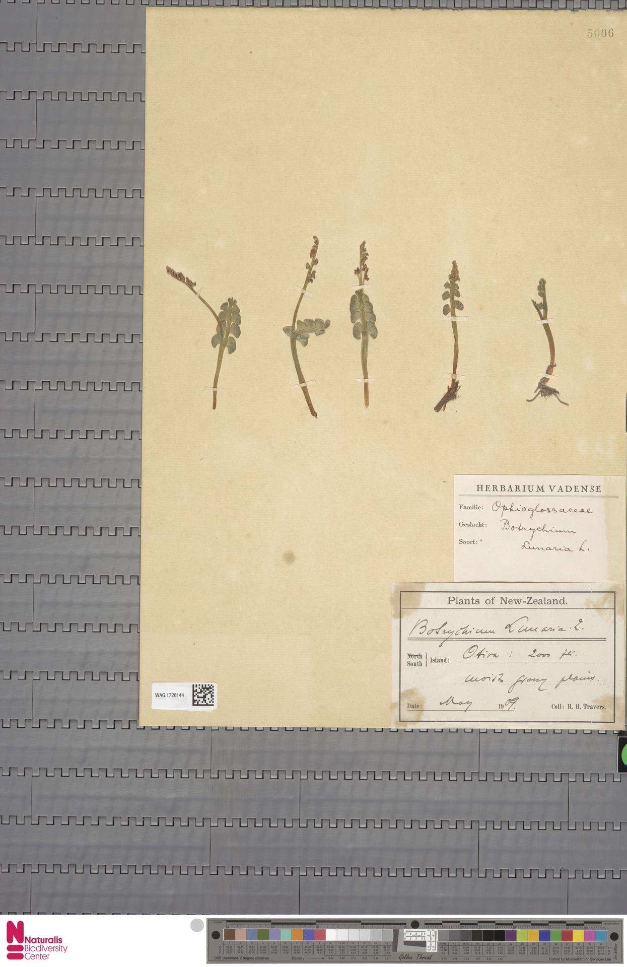 WAG.1726144 | Botrychium lunaria (L.) Sw.