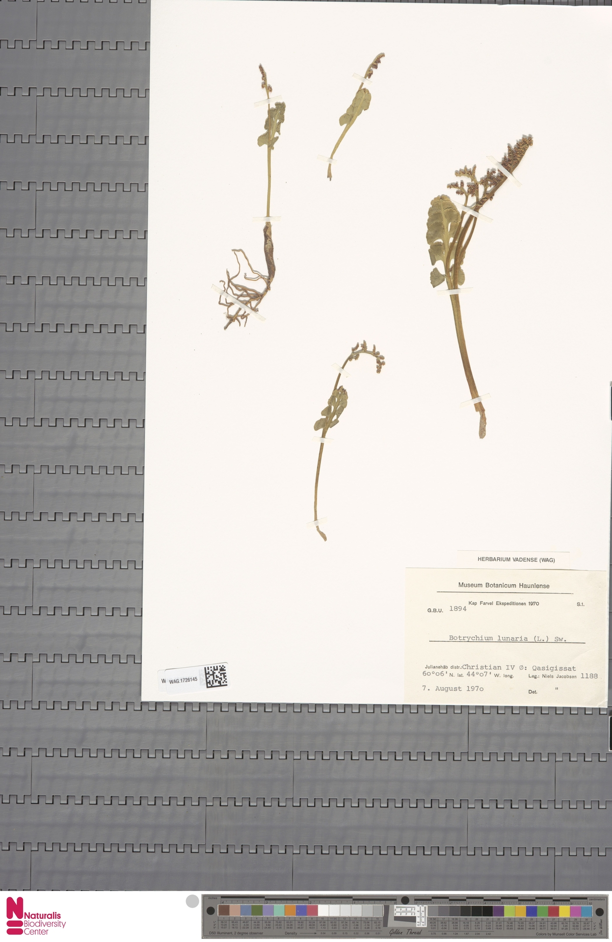 WAG.1726145 | Botrychium lunaria (L.) Sw.