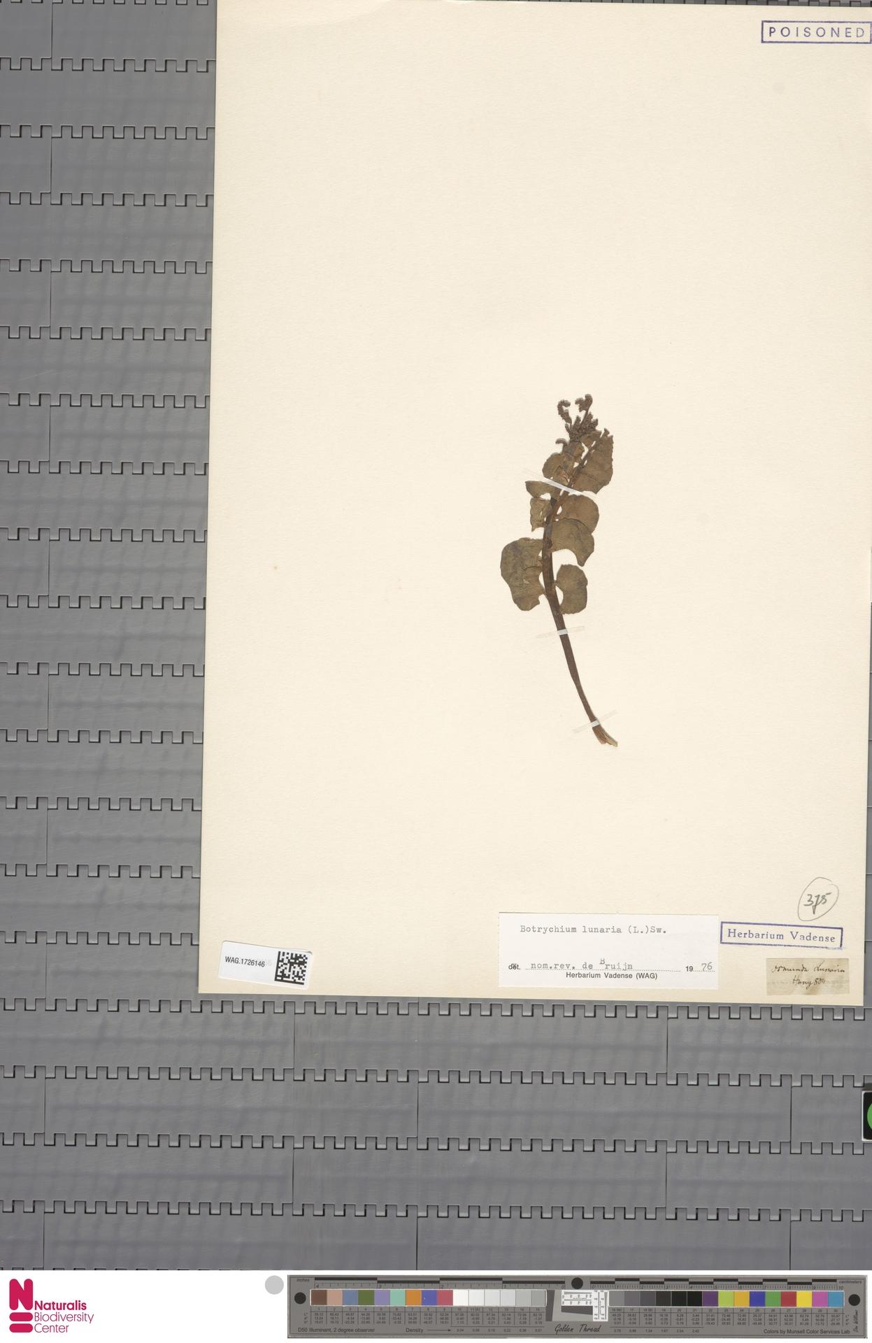 WAG.1726146 | Botrychium lunaria (L.) Sw.