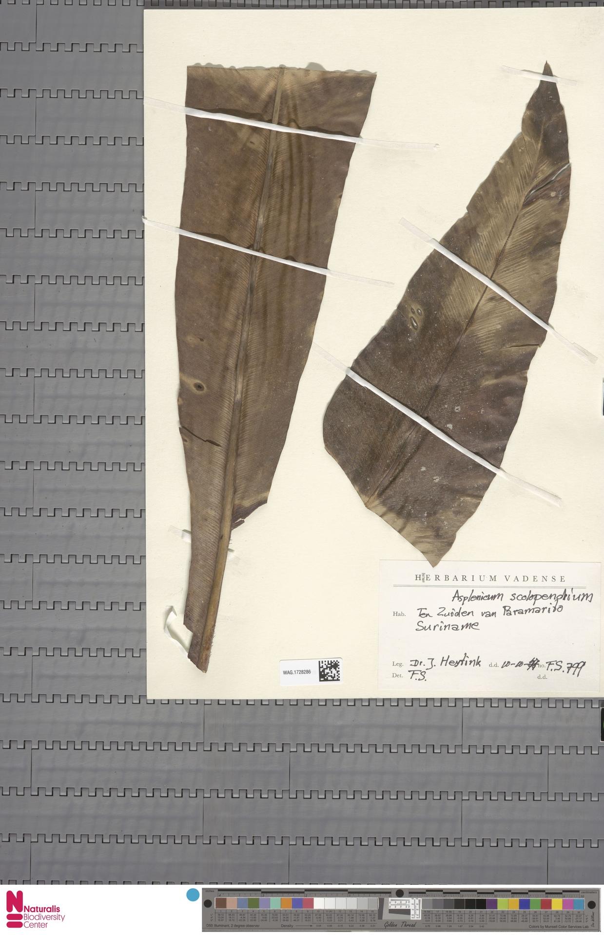 WAG.1728286 | Asplenium scolopendrium L.