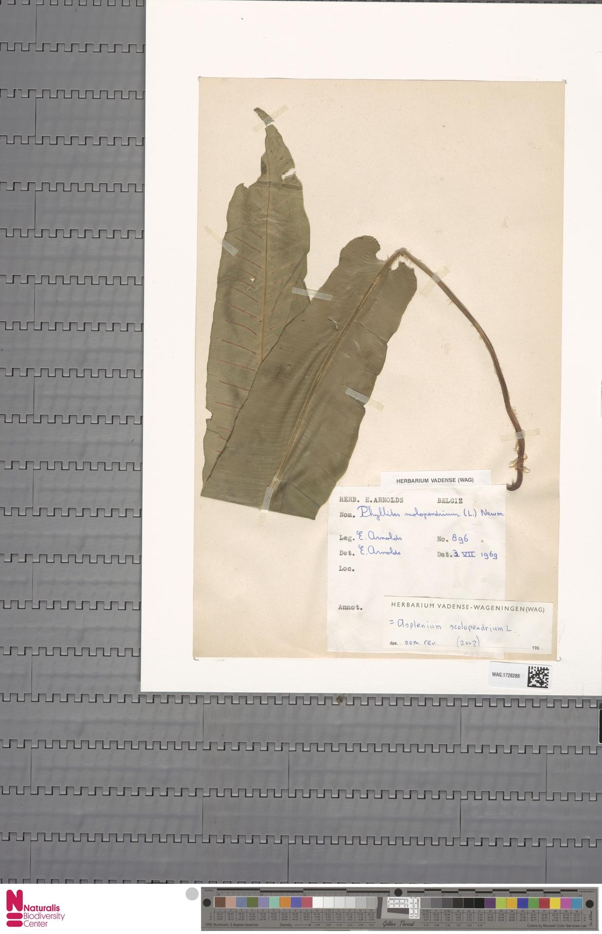 WAG.1728288 | Asplenium scolopendrium L.