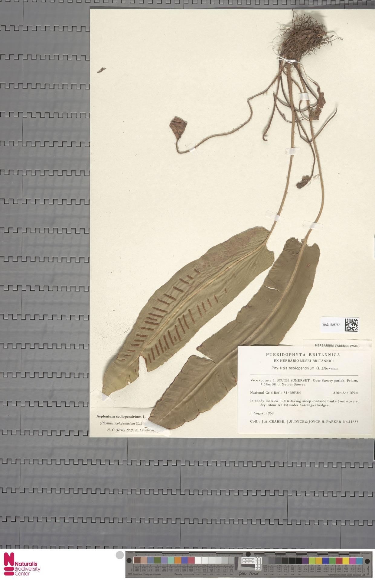 WAG.1728787 | Asplenium scolopendrium L.