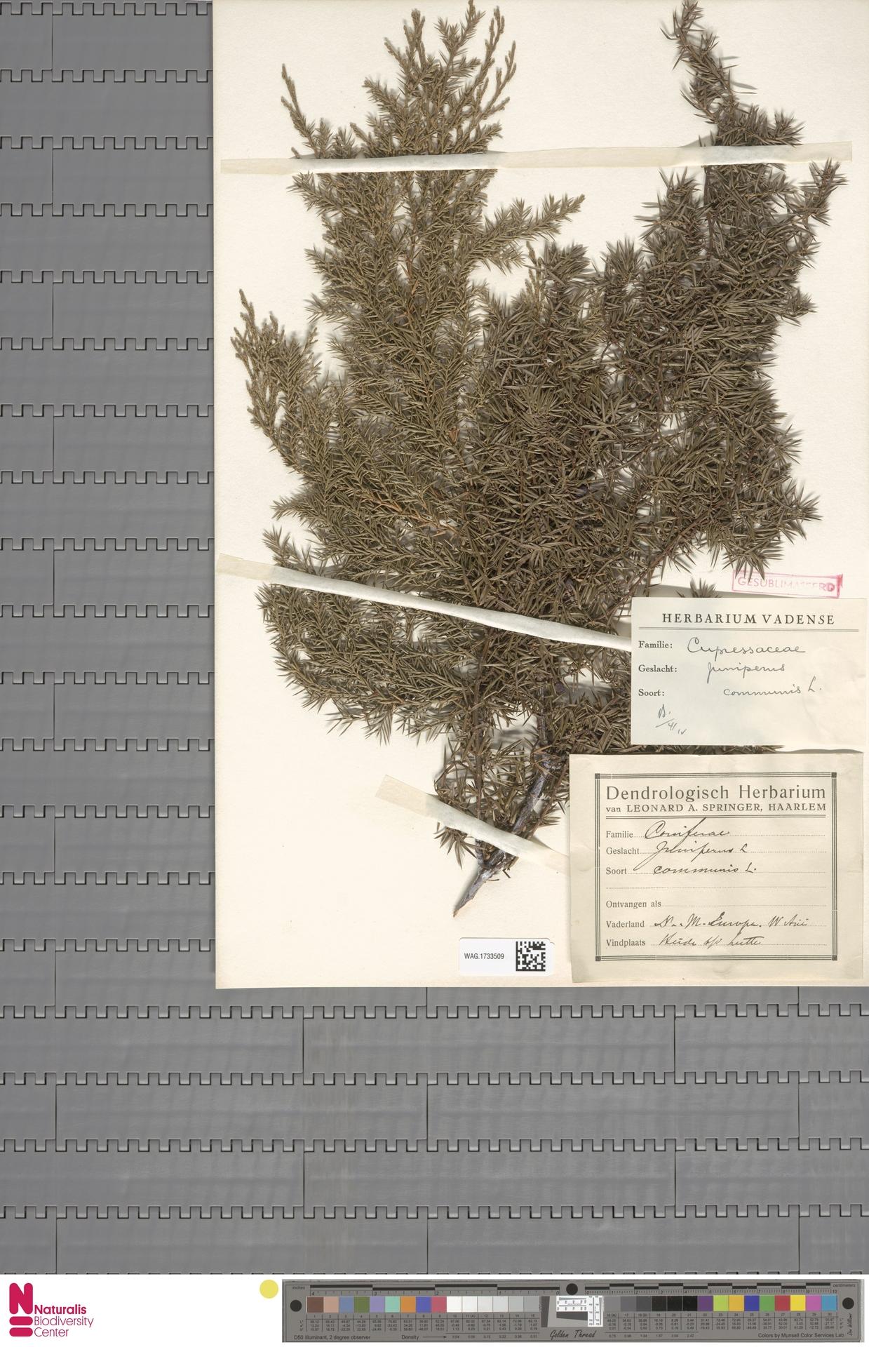 WAG.1733509 | Juniperus communis L.