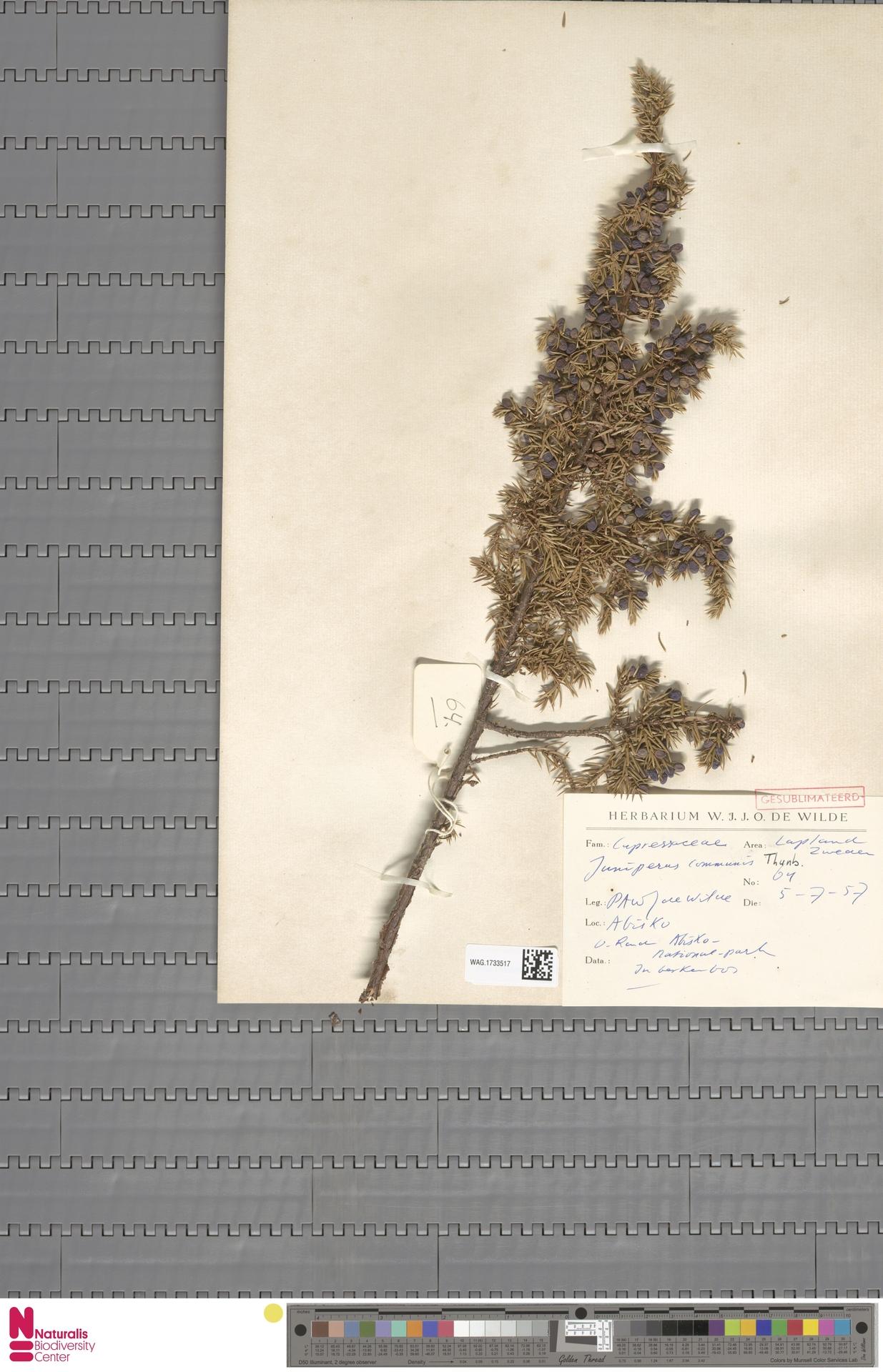 WAG.1733517 | Juniperus communis L.