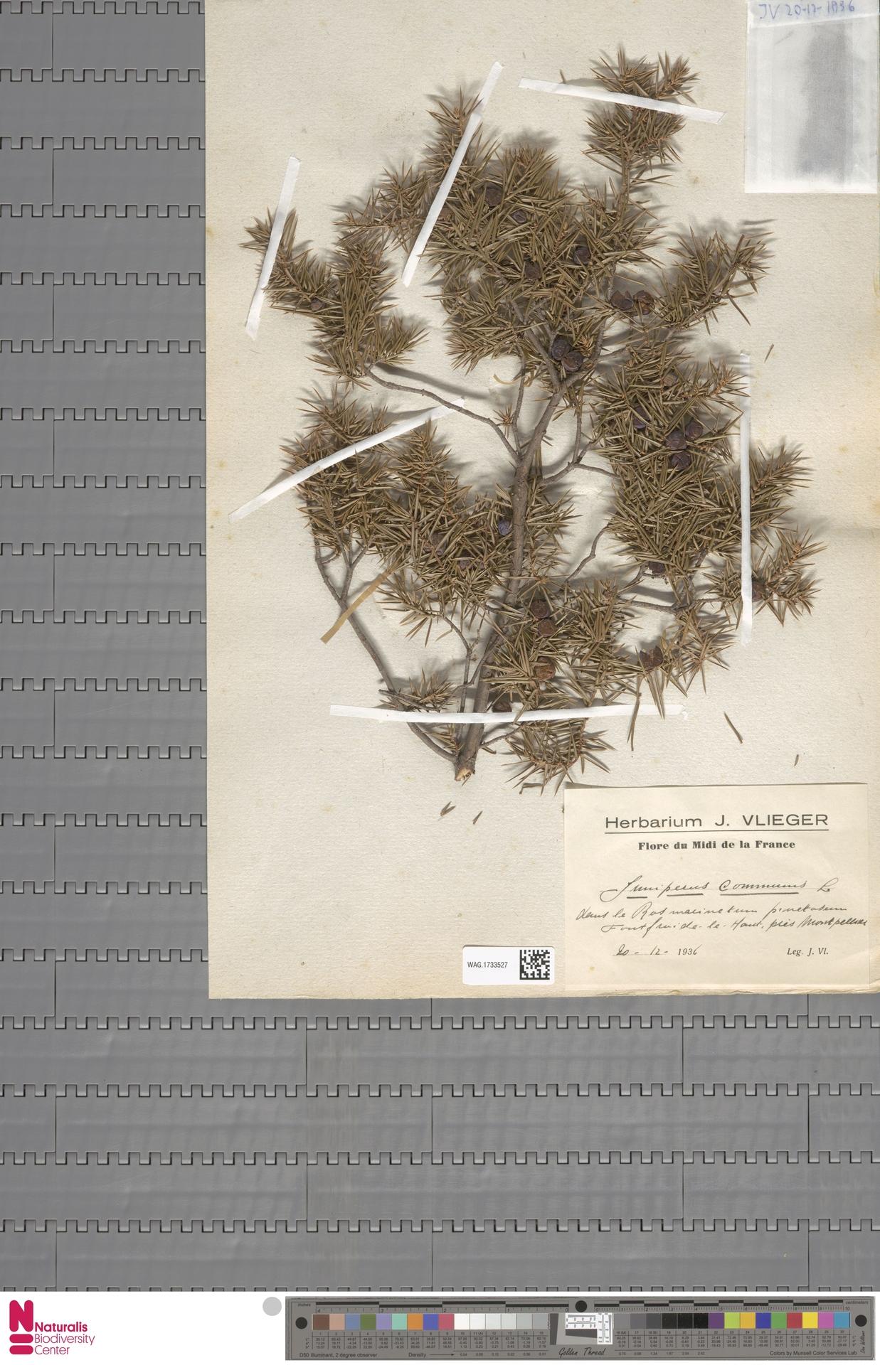 WAG.1733527 | Juniperus communis L.