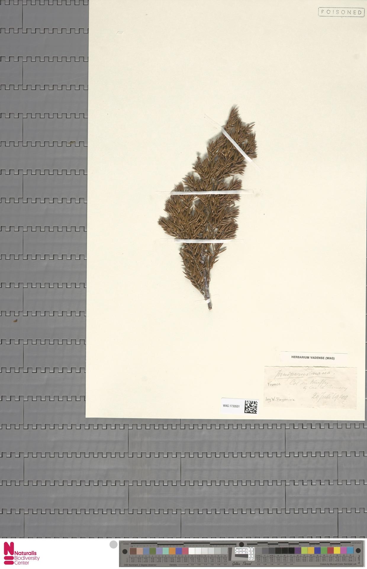 WAG.1733531 | Juniperus communis L.