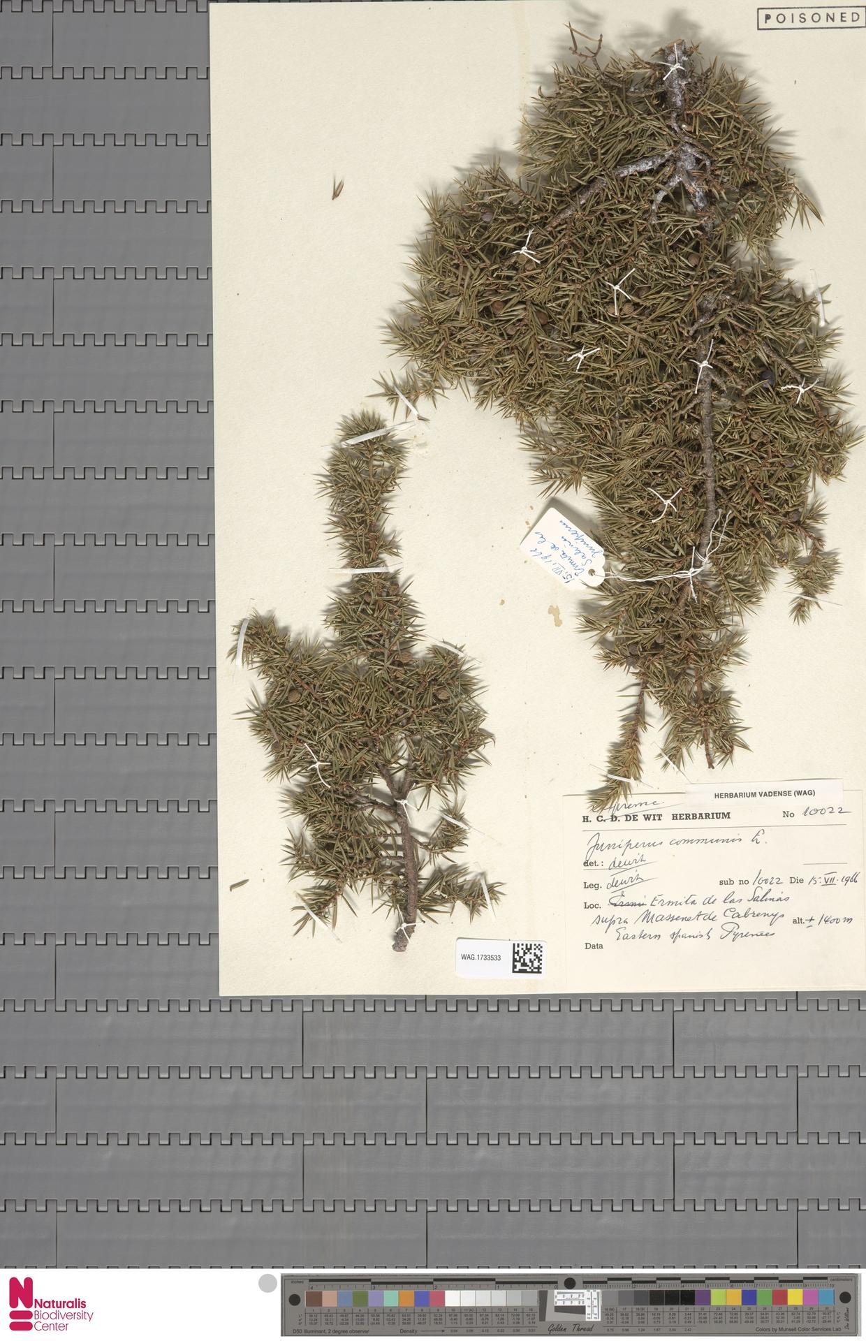 WAG.1733533 | Juniperus communis L.