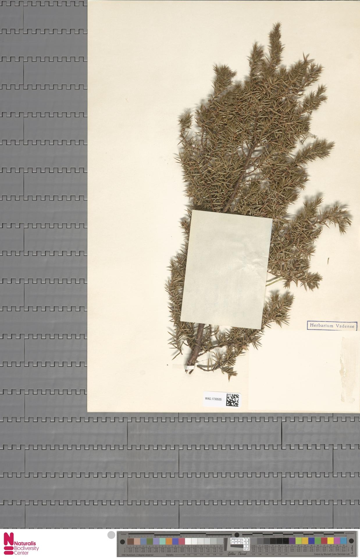 WAG.1733535 | Juniperus communis L.