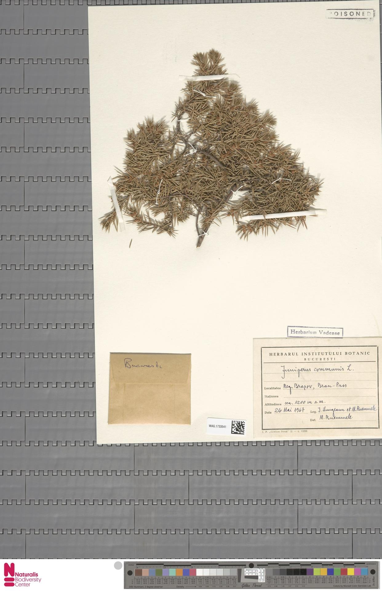 WAG.1733541 | Juniperus communis L.