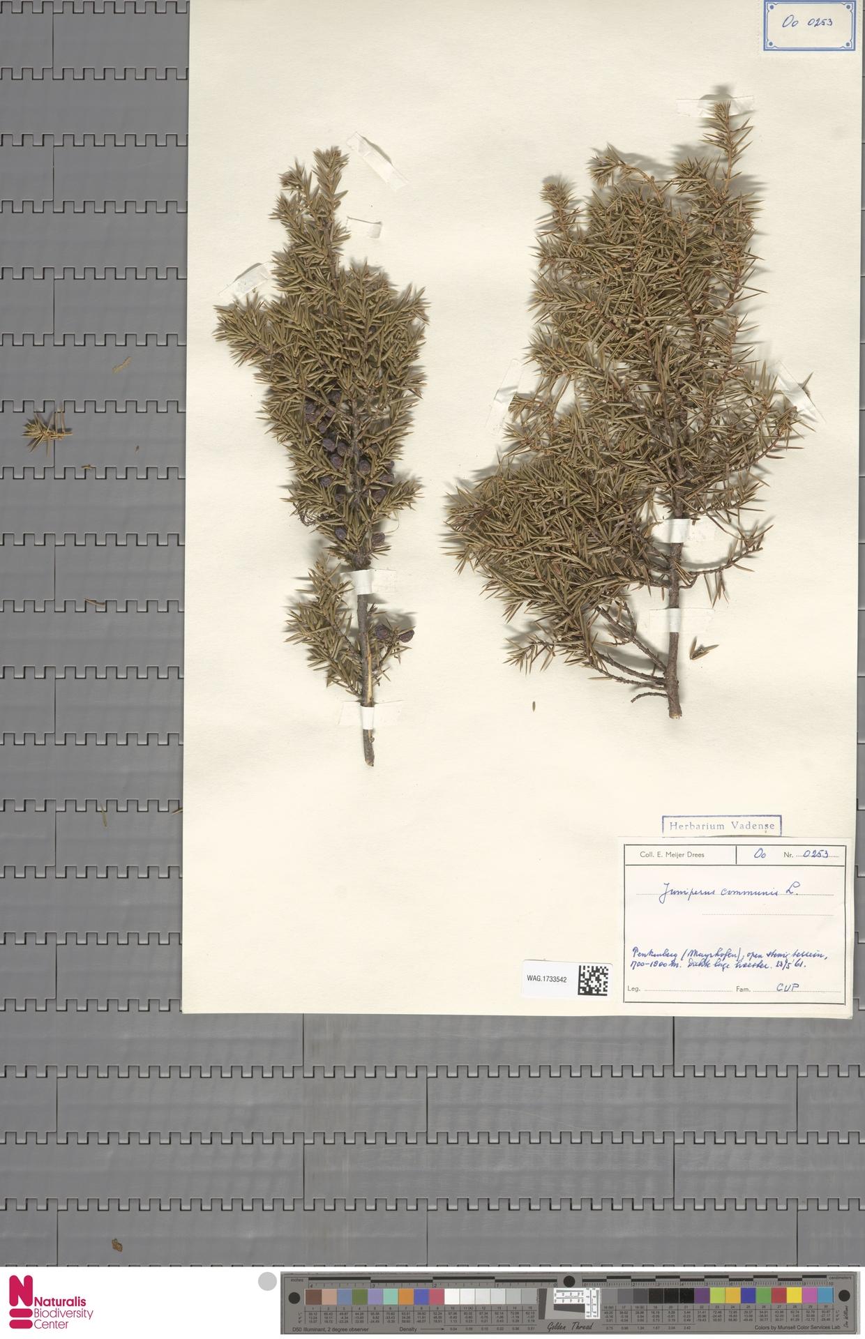 WAG.1733542 | Juniperus communis L.