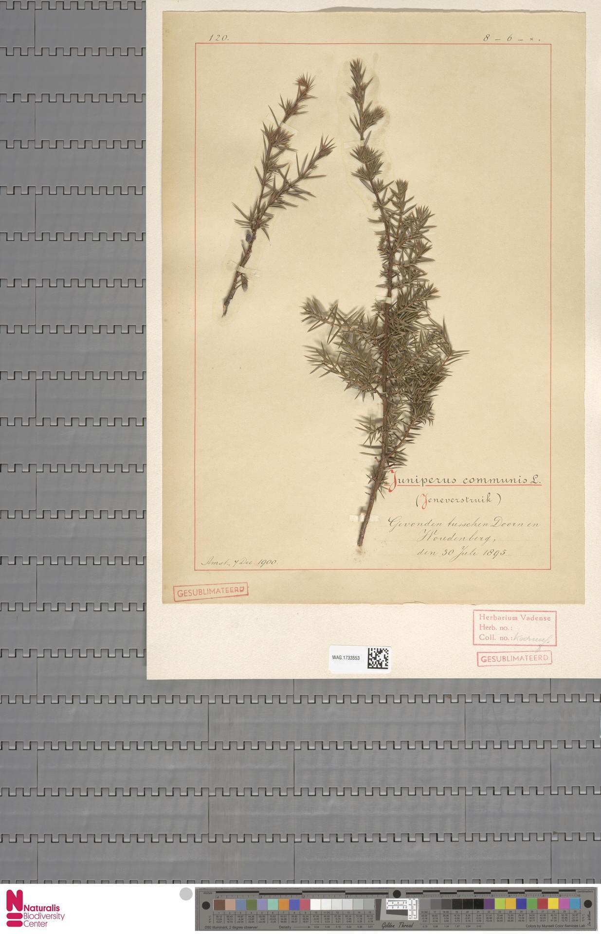 WAG.1733553 | Juniperus communis L.