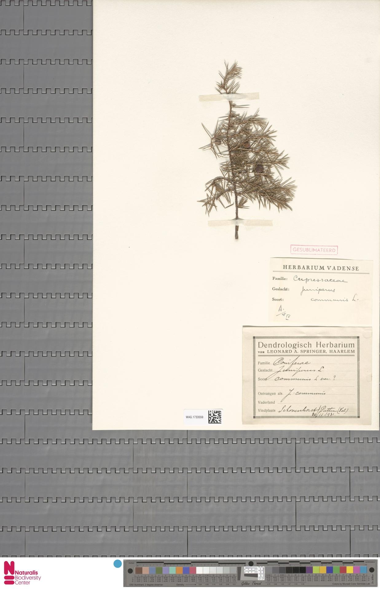 WAG.1733559 | Juniperus communis L.