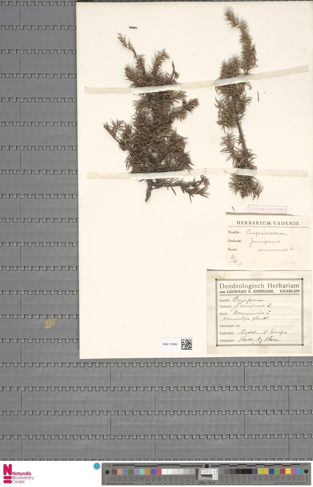 WAG.1733560 | Juniperus communis L.