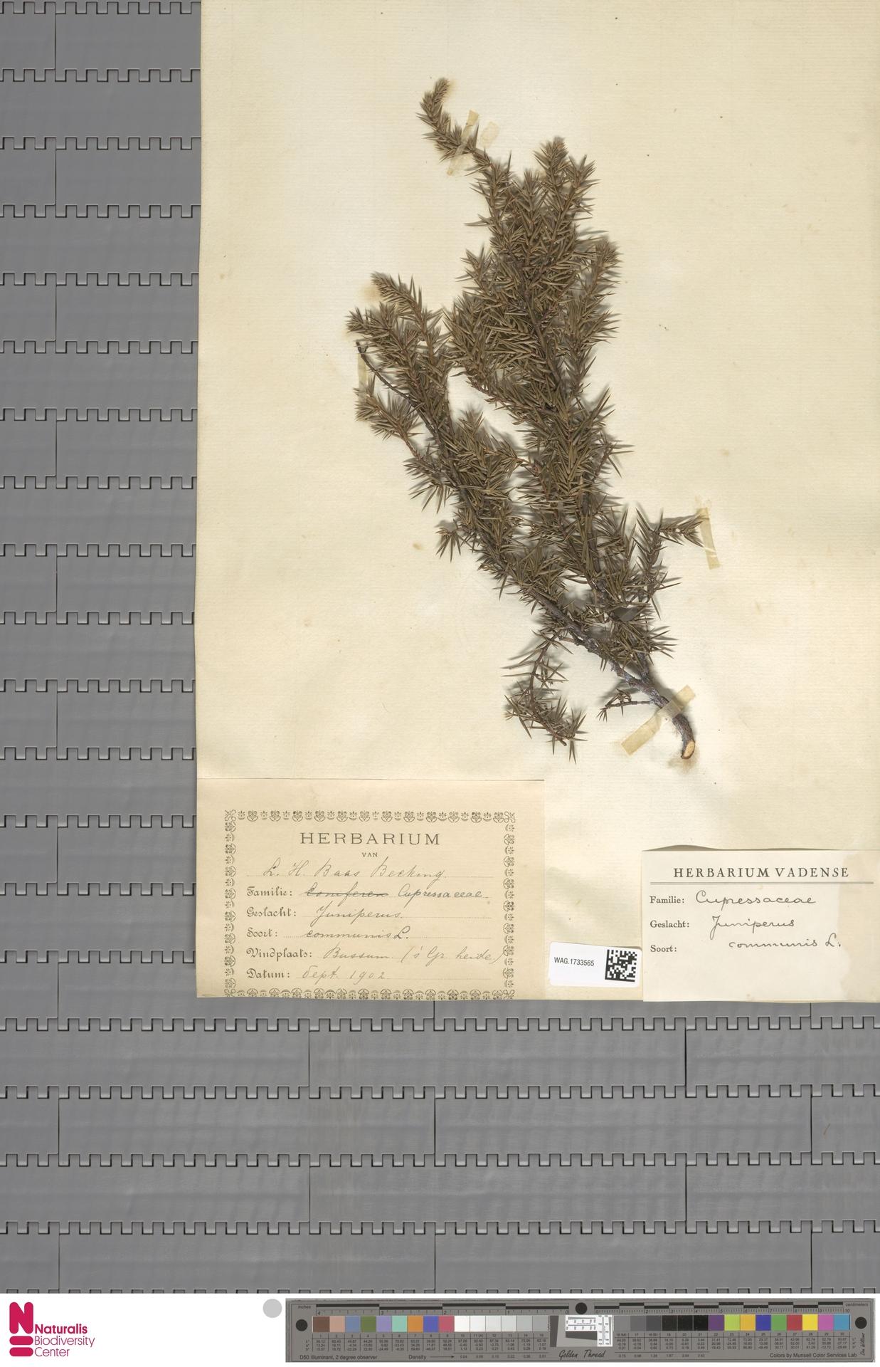 WAG.1733565   Juniperus communis L.