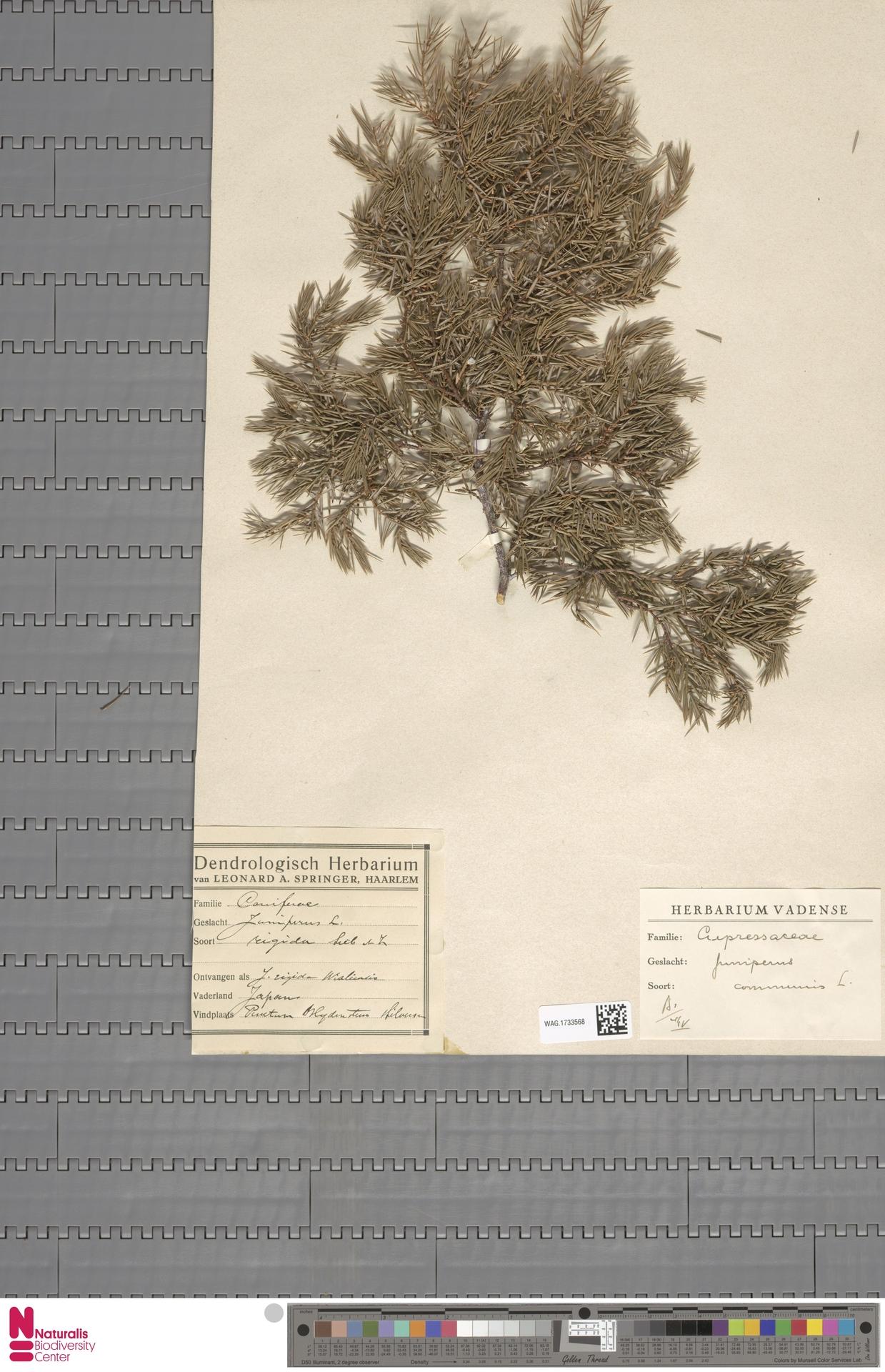 WAG.1733568   Juniperus communis L.